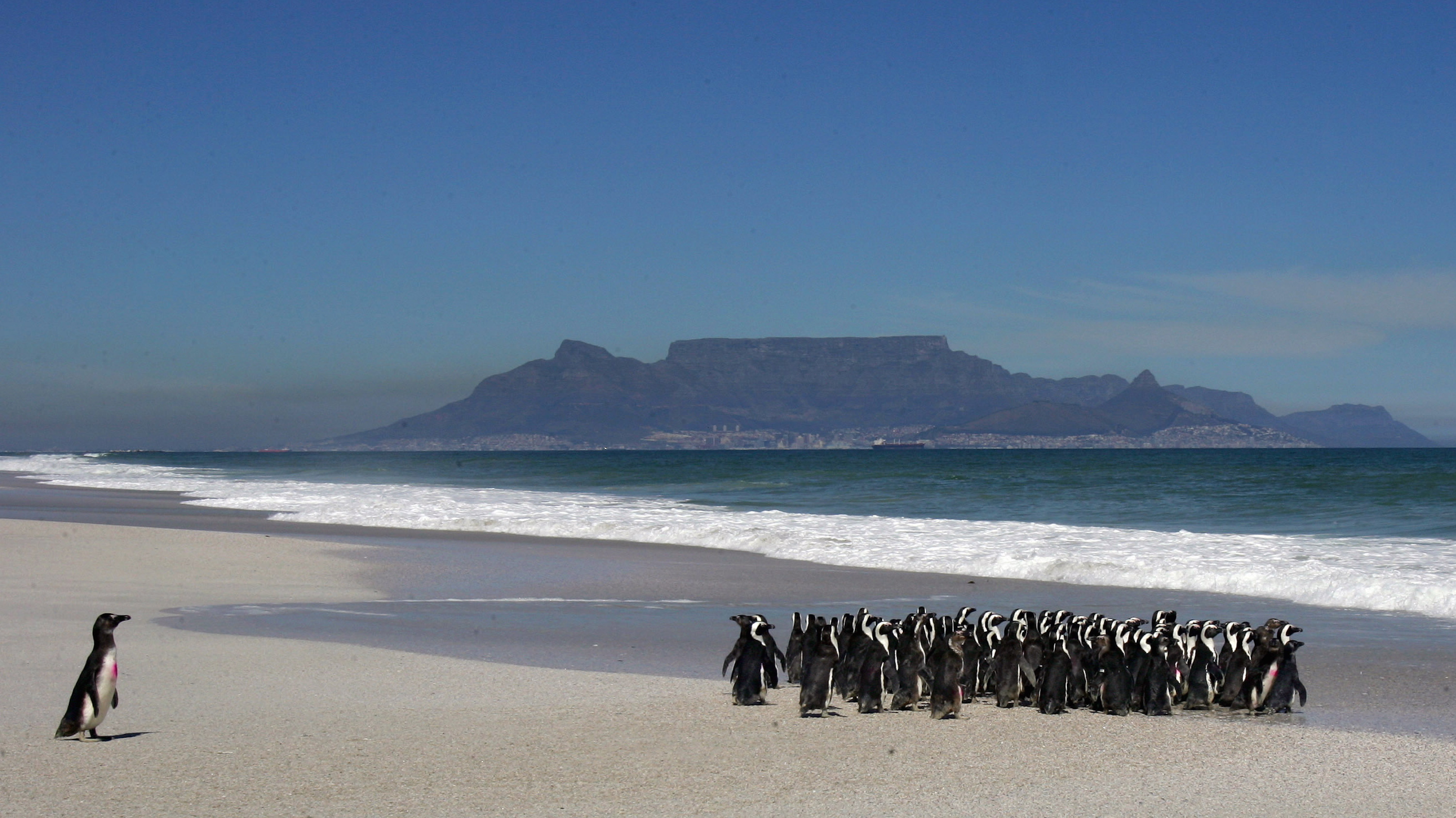 A group of about 100 African penguins are released into the sea near Cape Town September 16, 2005 after recovering at the SANCCOB (South African Foundation for the Conservation of Coastal Birds) rehabilitation centre. About 400 of these endangered birds were treated by volunteers at the centre after being affected by an oil slick. Conservation officials suspect the oil spill may have been the result of vessels illegally flushing bilges off the South African coast.