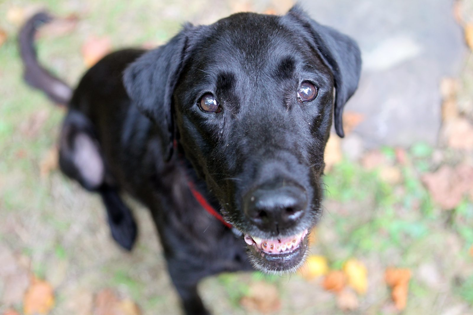 Red, a 12-year-old Labrador who is retired as an active search dog, sits in her yard in Annapolis, Maryland, August 18, 2011. Not long after American Airlines flight 77 crashed into the Pentagon on September 11, 2001, Red was at work. She was 18 months old and only recently certified as a rescue dog, a rookie among more veteran canines. For weeks, Red navigated the hazards of the rubble piles amid the clatter and chaos following 9/11. Picture taken August 18, 2011.