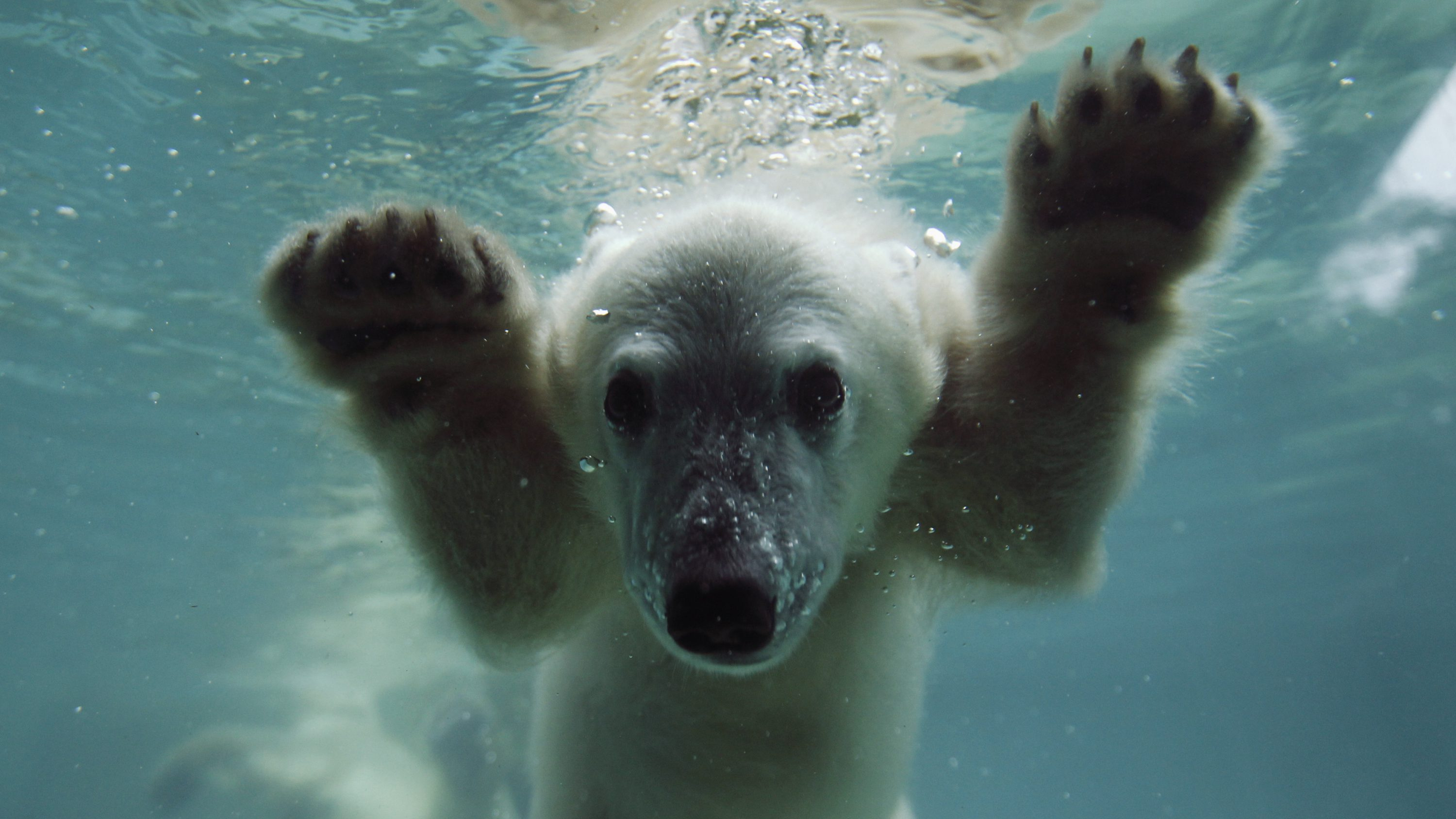 Anori, the polar bear cub, swims in her enclosure at the zoo in Wuppertal June 6, 2012. Anori was born on January 4, 2012.