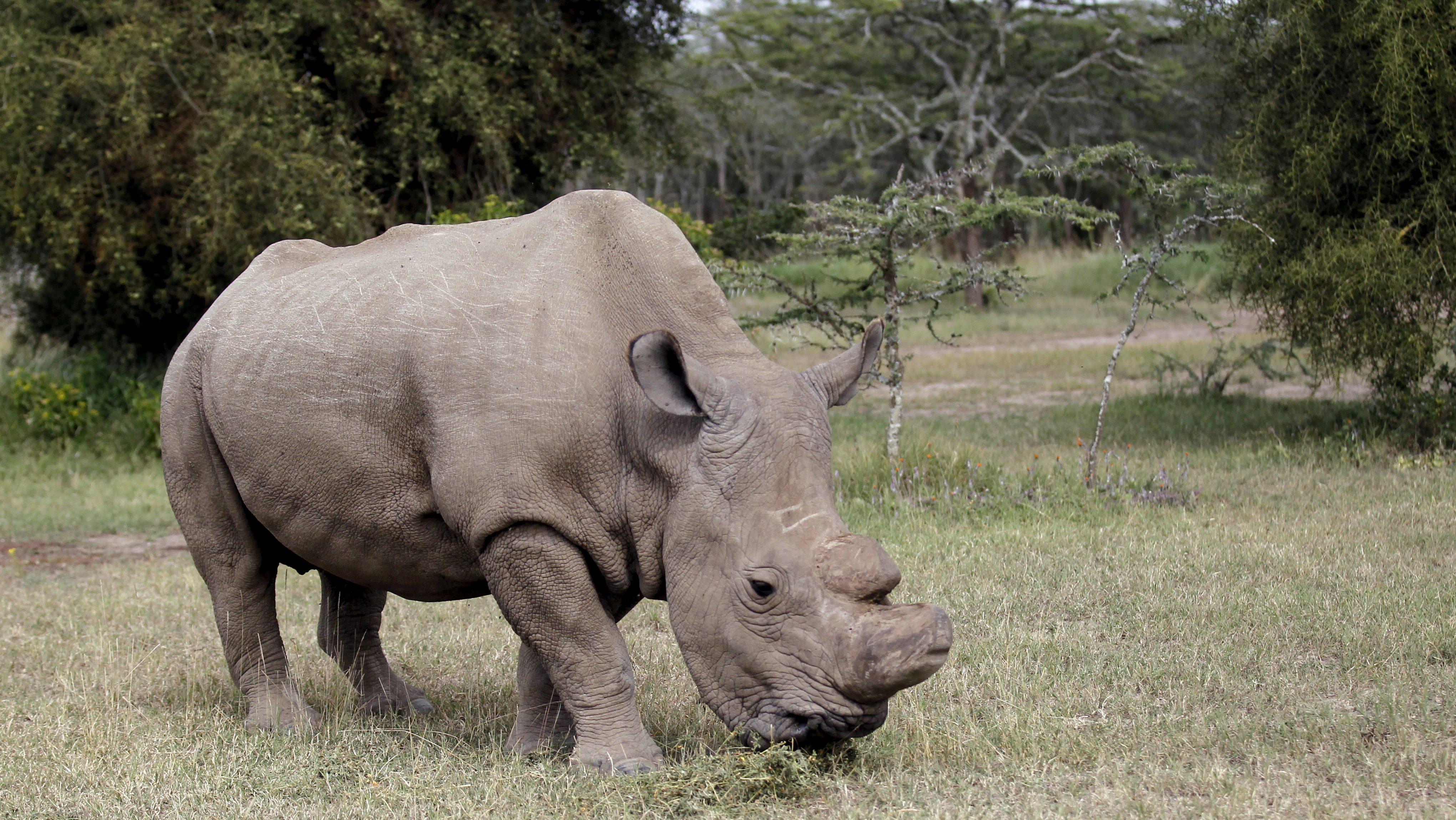 The last surviving male northern white rhino named 'Sudan' grazes at the Ol Pejeta Conservancy in Laikipia national park, Kenya June 14, 2015.