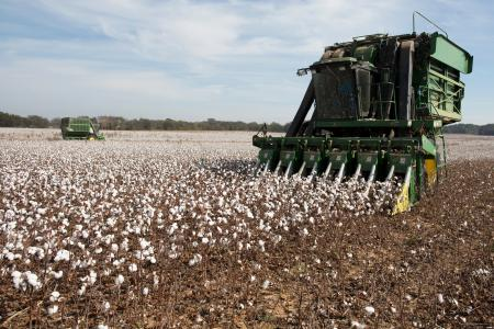 Cotton planted by farmer Lawrence Smith is harvested in Florence, Alabama October 23, 2015. Lawrence Smith is a second generation cotton farmer and his son Ryan works with him on the harvest. REUTERS/Brian Snyder - RTS7V1X