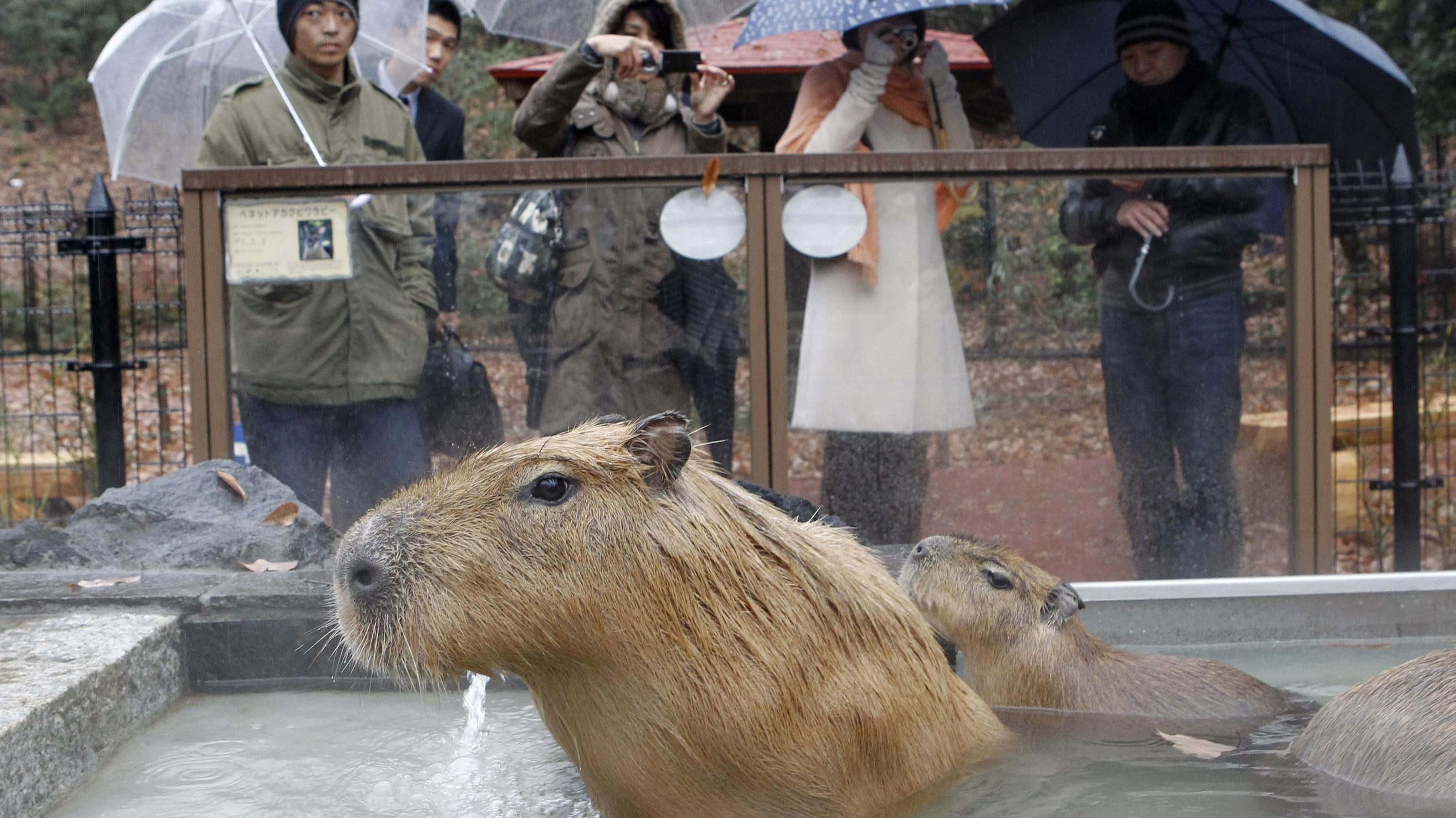 Capybaras sit inside a hot tub at the Saitama Children's Zoo in Higashimatsuyama, north of Tokyo December 11, 2009.
