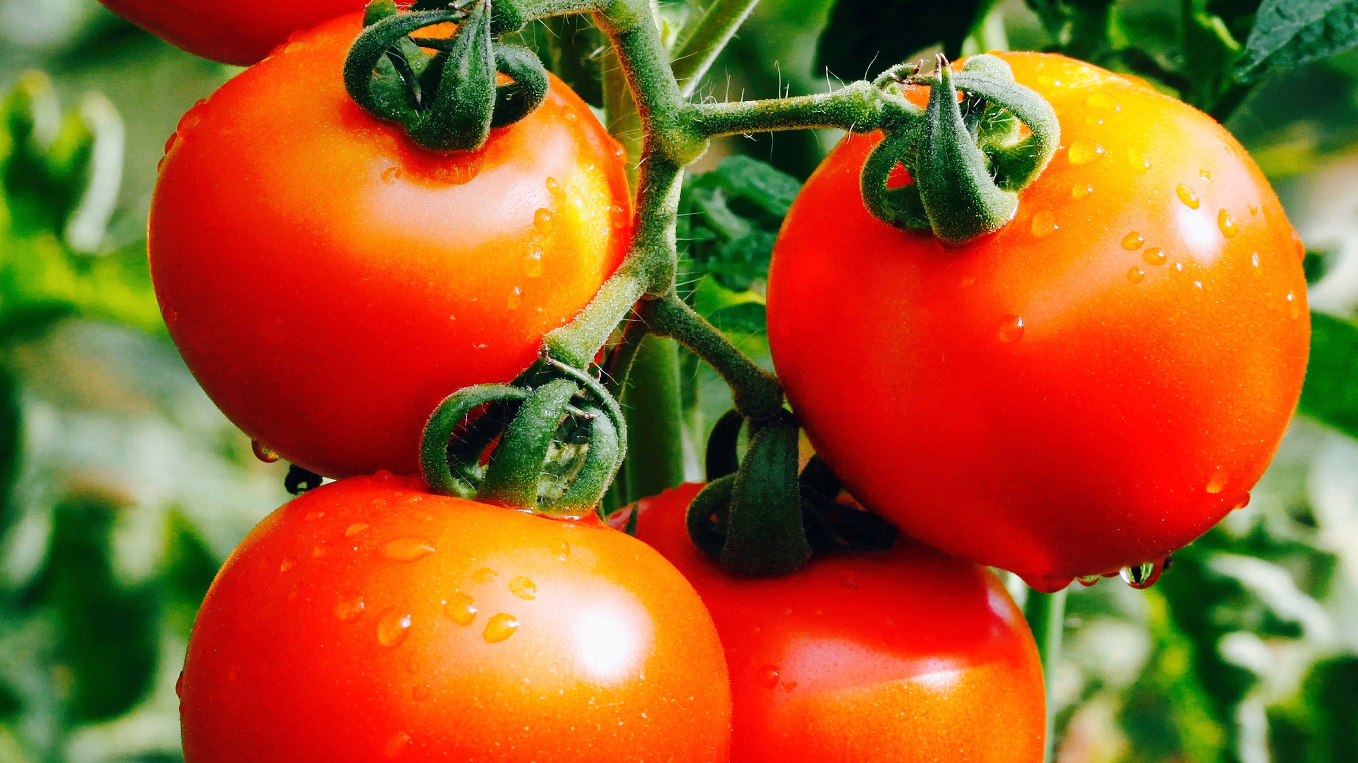 Tomatoes on the vine.