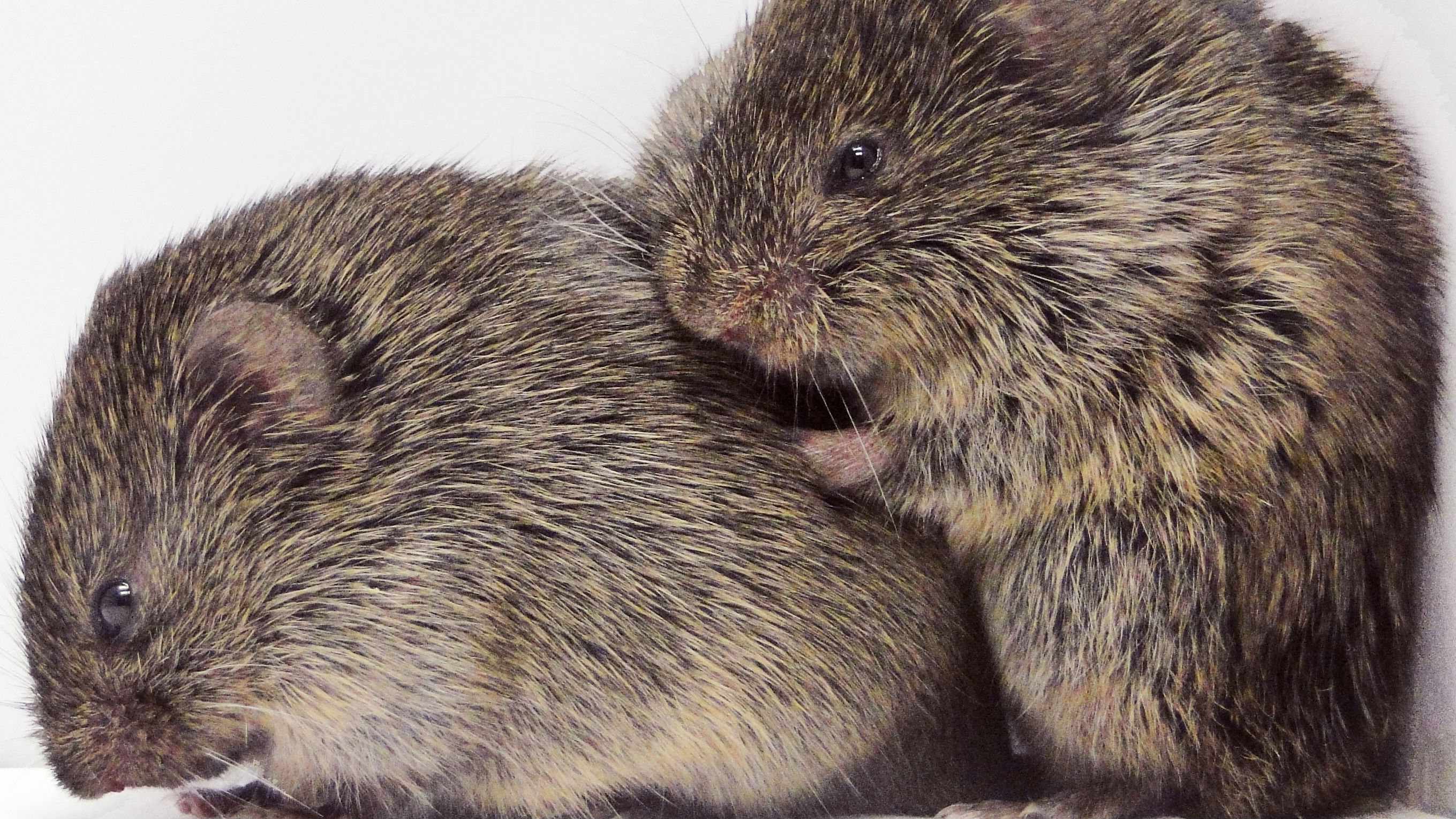 Voles cuddling each other change their brain chemistry—which may cause them to cuddle more.