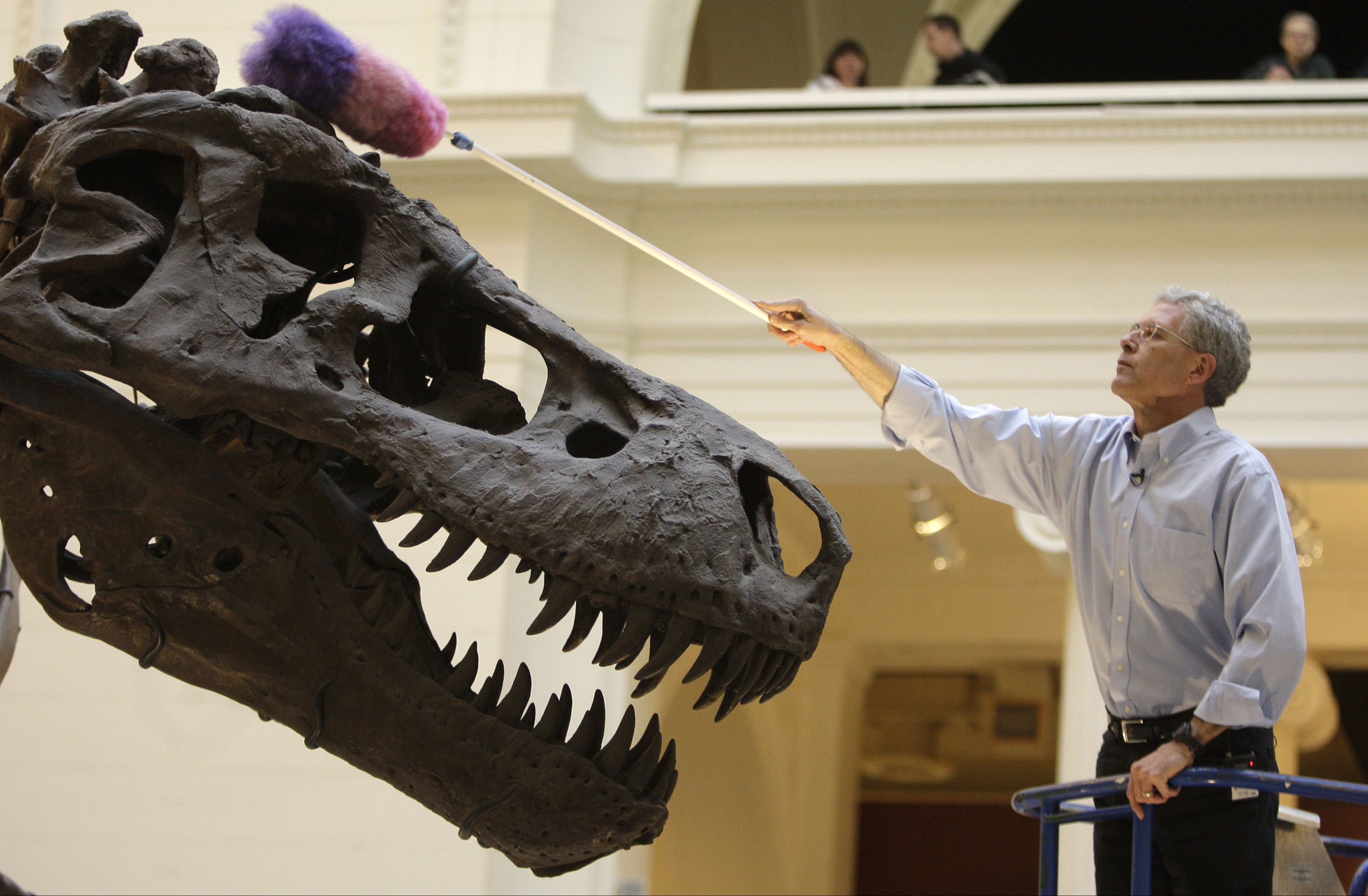 Bill Simpson, collections manager of fossil vertebrates at Chicago's Field Museum, dusts the Tyrannosaurus rex skeleton known as Sue on display at museum Wednesday, May 12, 2010 in Chicago. The skeleton was being cleaned in anticipation of her 10th anniversary at the museum.