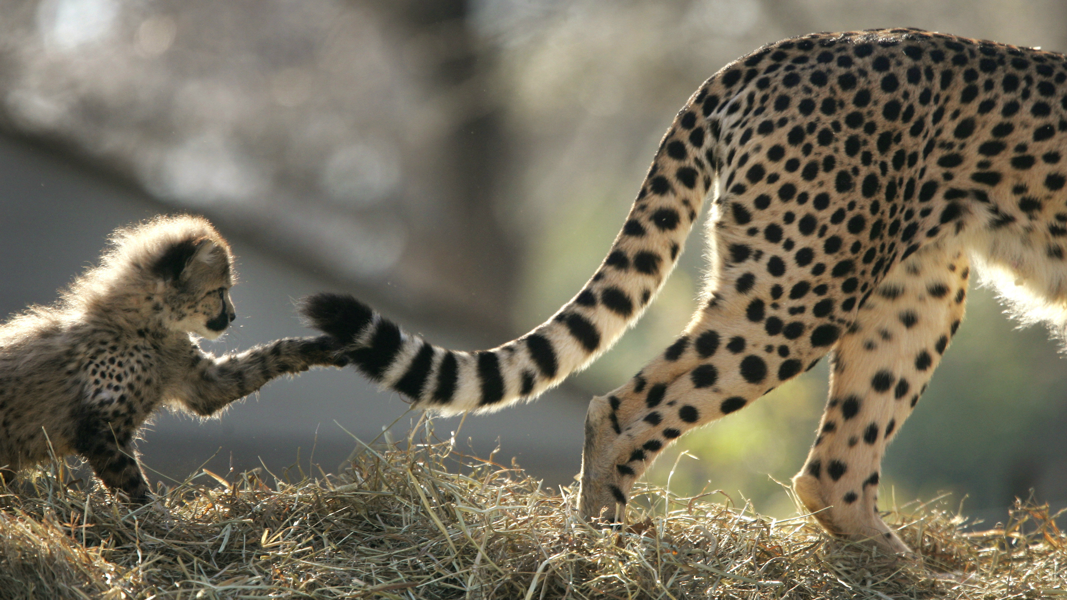 A 10-week-old cheetah cub plays with the tail of its mother Tumai, as a new litter of four new cubs were shown for the first time at Washington National Zoo February 4, 2005. The two male and two females are the first litter of cheetahs born at the National Zoo during its 115 year history and will go on public exhibit February 5. NO RIGHTS CLEARANCES OR PERMISSIONS ARE REQUIRED FOR THIS IMAGE. REUTERS/Jason Reed JIR