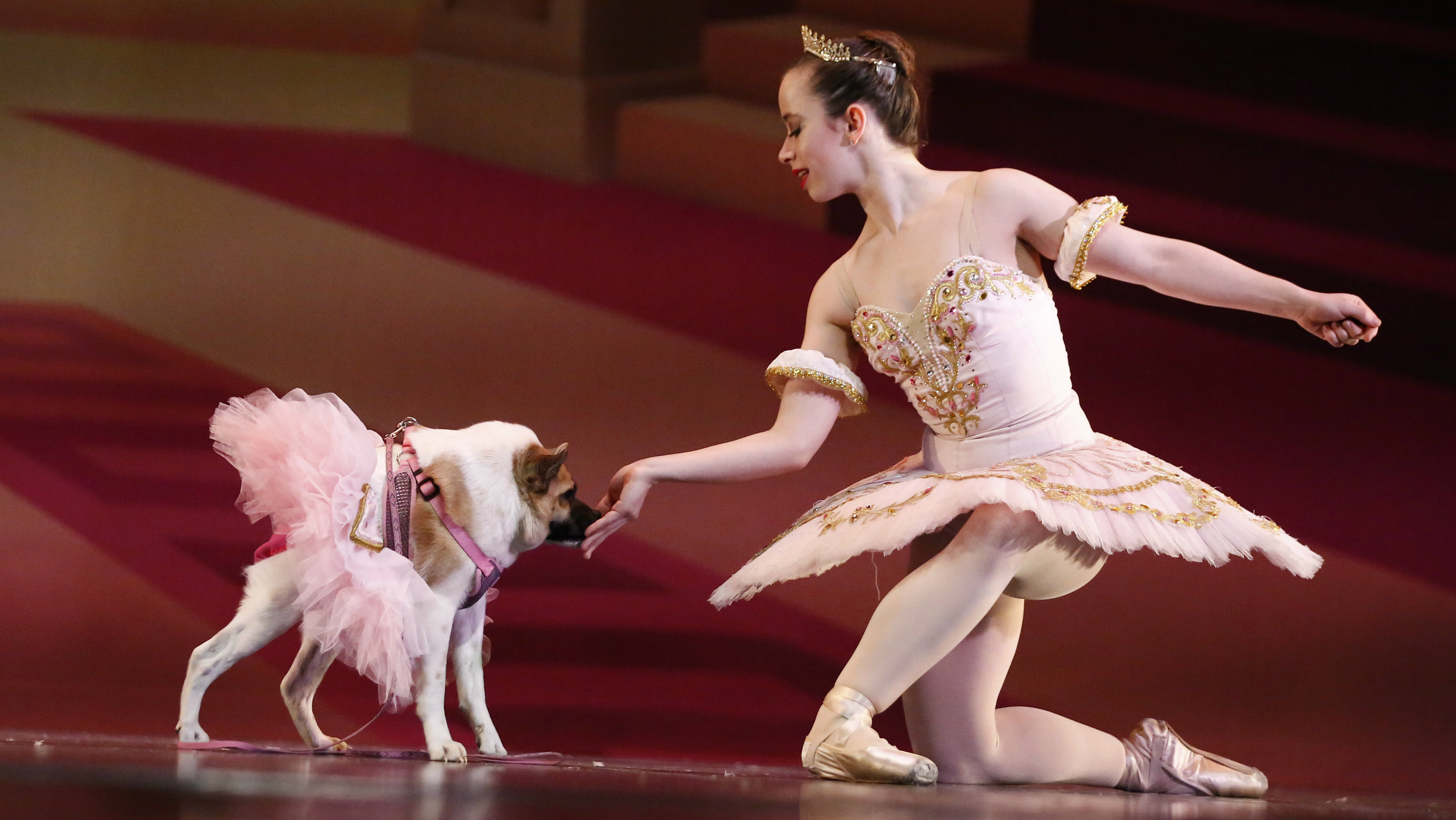 "In a Thursday, Dec. 8, 2016 photo, performing as the Sugar Plum Fairy, Katherine Free, left, dances with Pig, the dog, during the Birmingham's Ballet Mutt-cracker, a rendition of the famous ballet ""The Nutcracker,"" in Birmingham, Ala. Pig was a featured performer, wearing a pink tutu and dancing alone with the Sugar Plum Fairy in Act 2. Born with a condition called short-spine syndrome, the 3-year-old dog hops somewhat like a frog to stand up and has hunched shoulders that make her gait appear somewhat gorilla-like. (AP Photo/Brynn Anderson)"