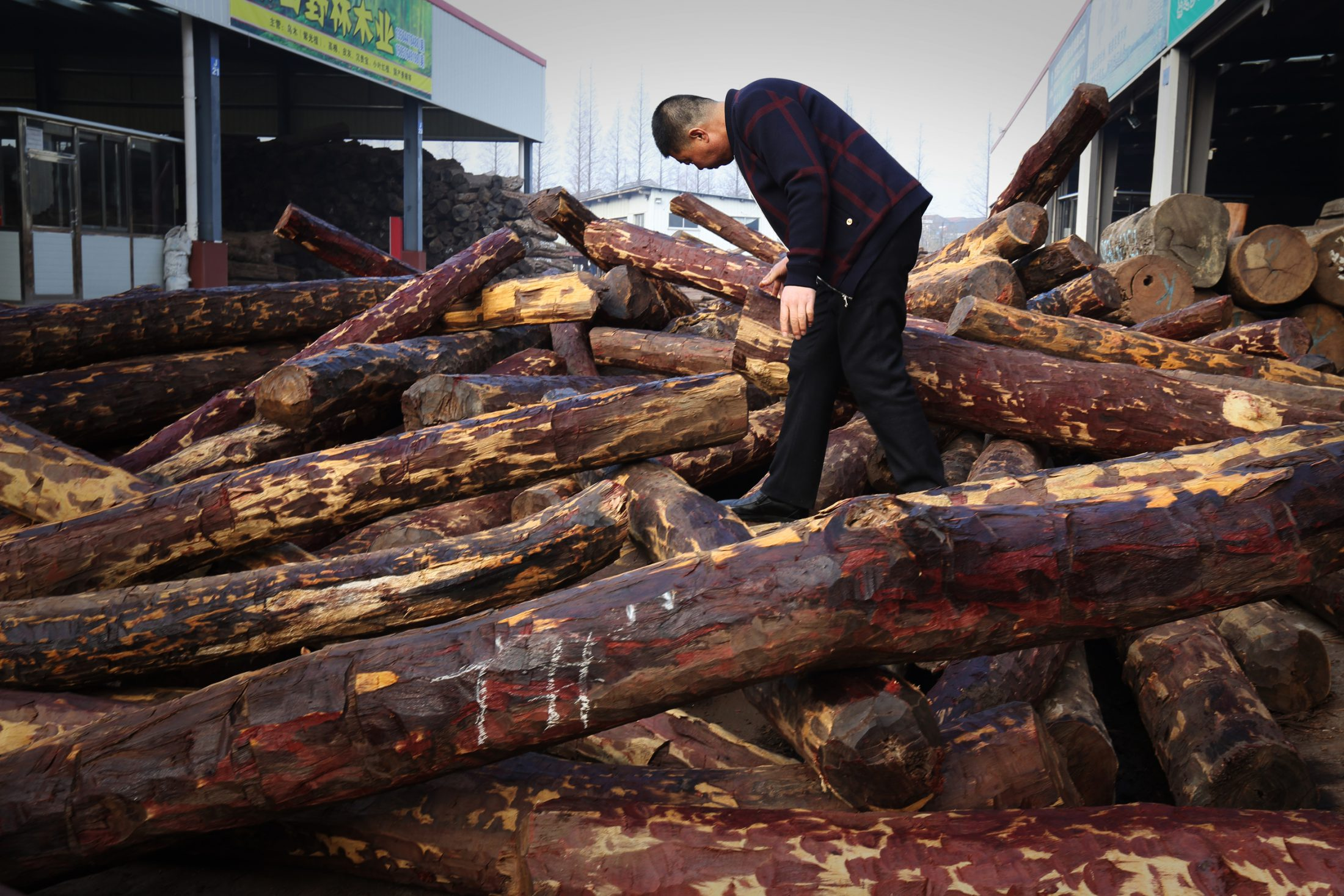 Photo: A supervisor at Hebei Dacheng Rosewood Furniture Factory in Zhangjiagang, a coastal Chinese city, inspects a container of recently arrived rosewood [Photo credit QZ.com].