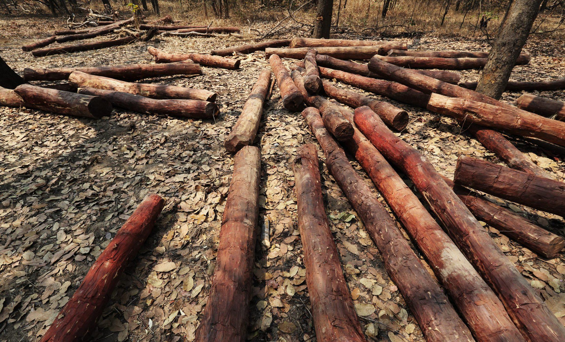 在刚果(金)加丹加省的森林里,大约100米左右就有一根成年的血檀树,经过砍伐、去皮堆集在一起准备让大卡车运走。