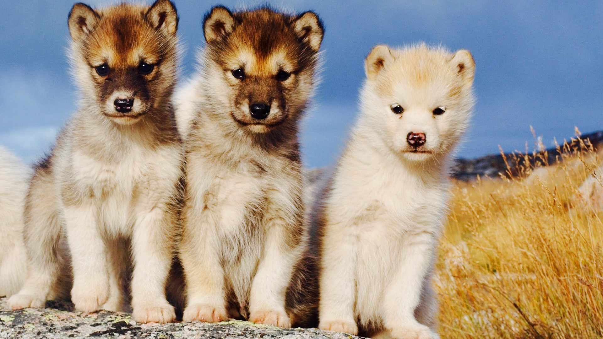 Husky puppies; sled dogs to be in Greenland.