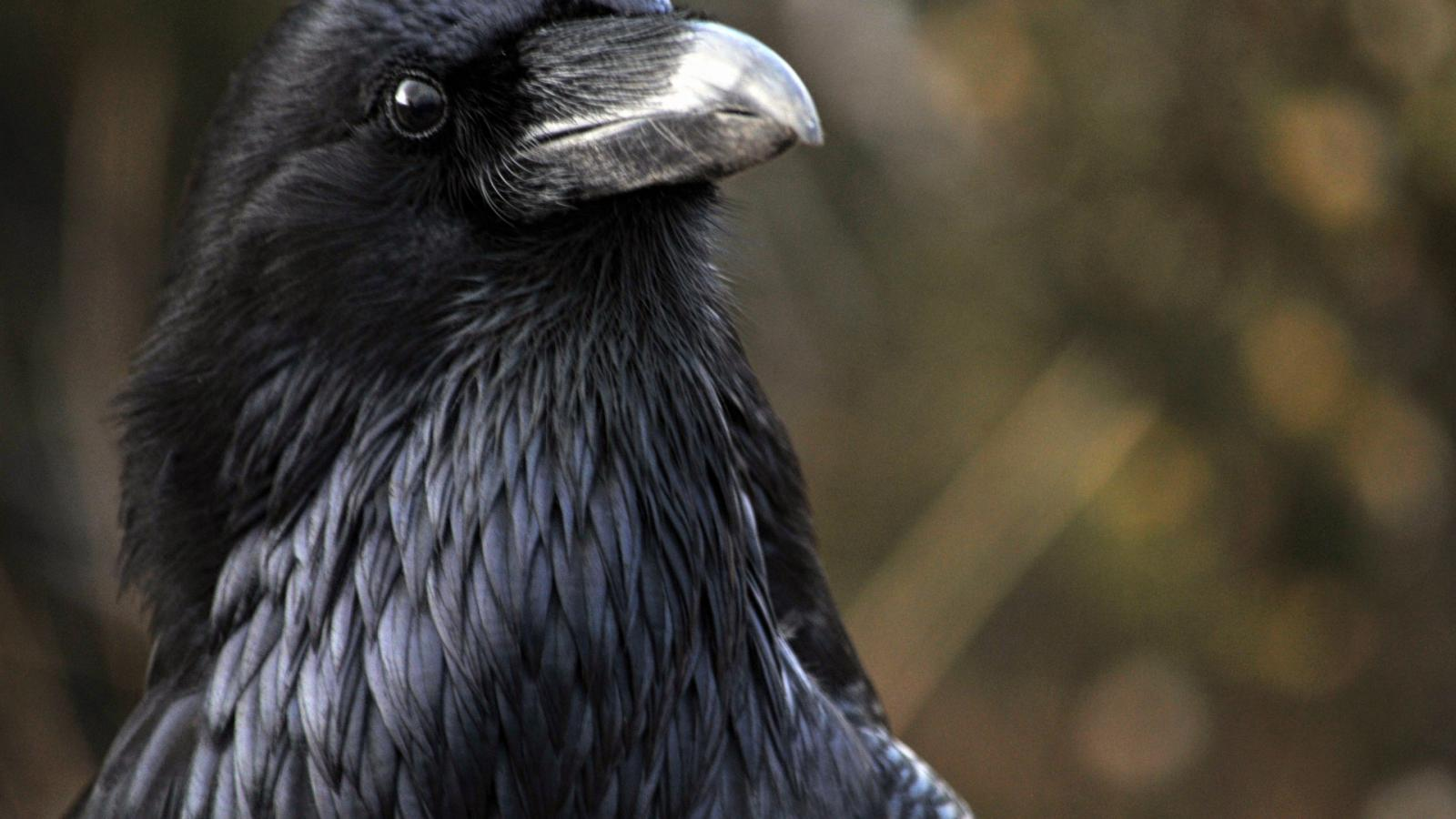 Ravens Can Remember The Faces Of Humans Who Wronged Them Quartz