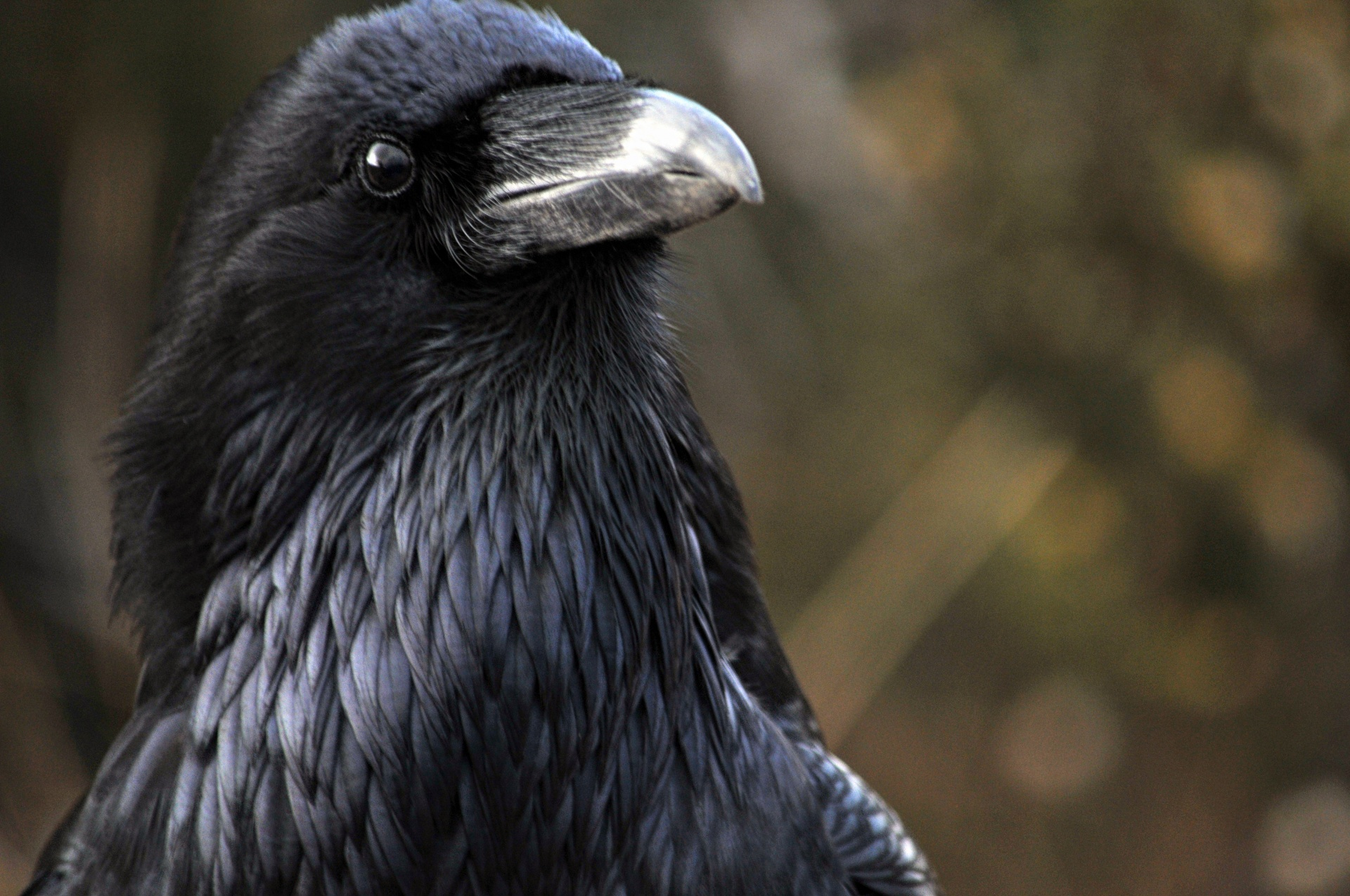Ravens Can Remember The Faces Of Humans Who Wronged Them