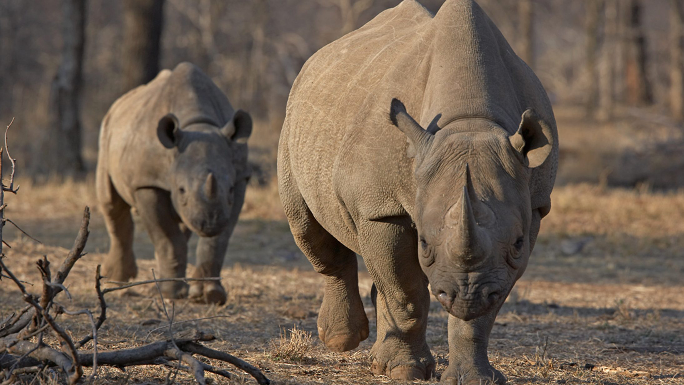 An endangered east African black rhino and her young one walk in Tanzania's Serengeti park