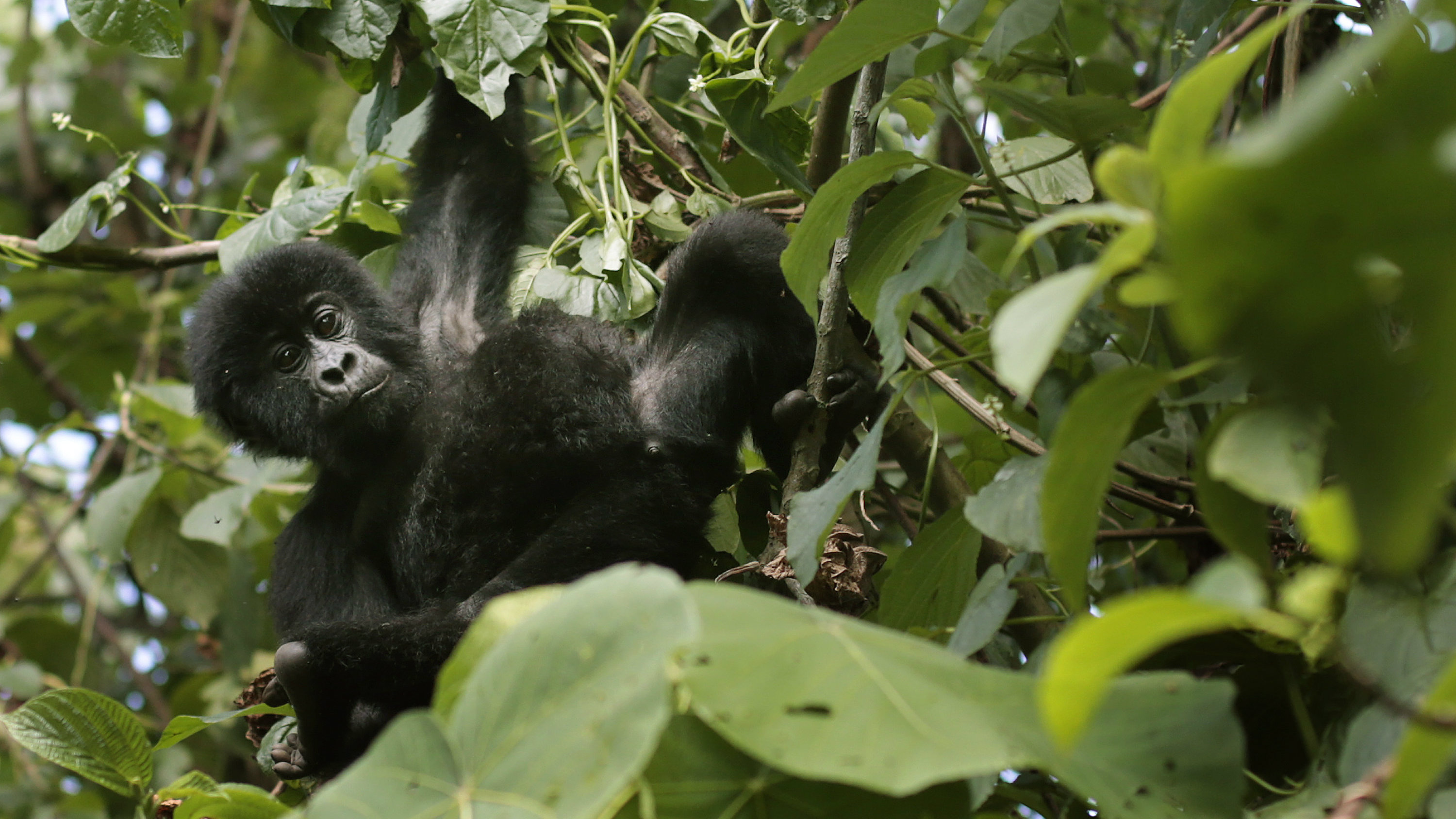 Gorilla plays in the trees
