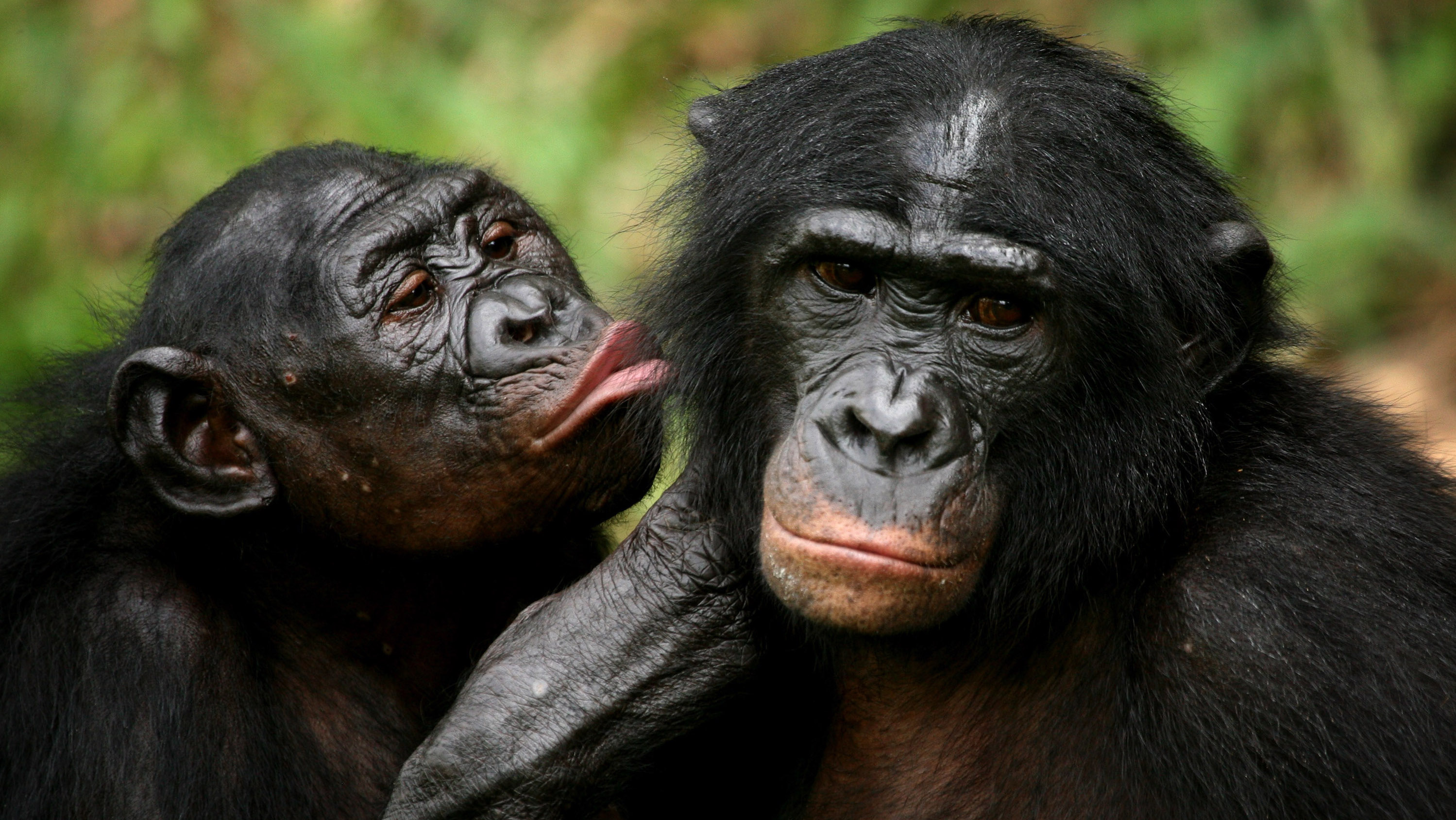 Bonobo apes, primates unique to Congo and humankind's closest relative, groom one another at a sanctuary just outside the capital Kinshasa, Congo on October 31, 2006.