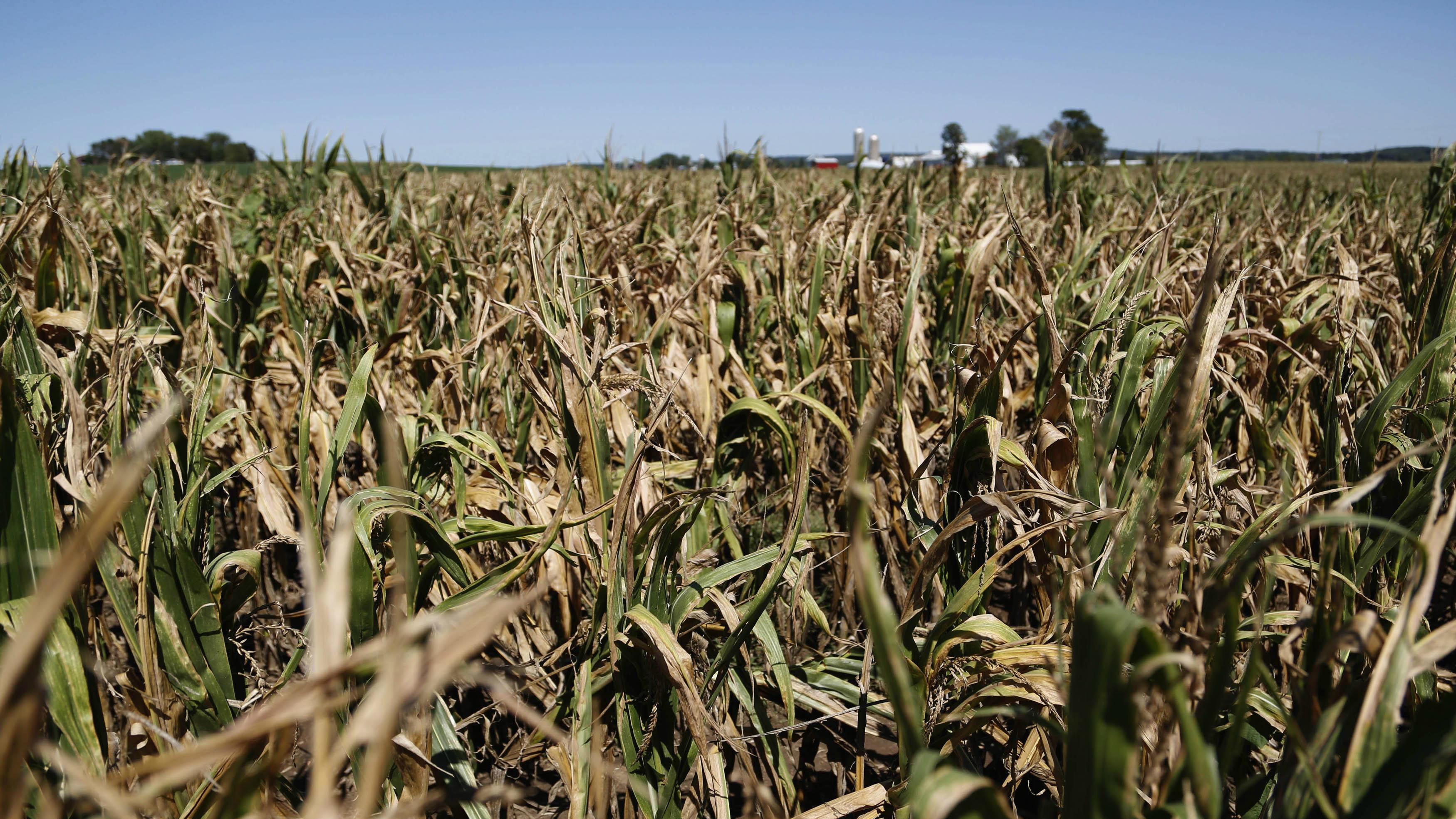 c-corn3-RTR37LJU-Darren Hauck