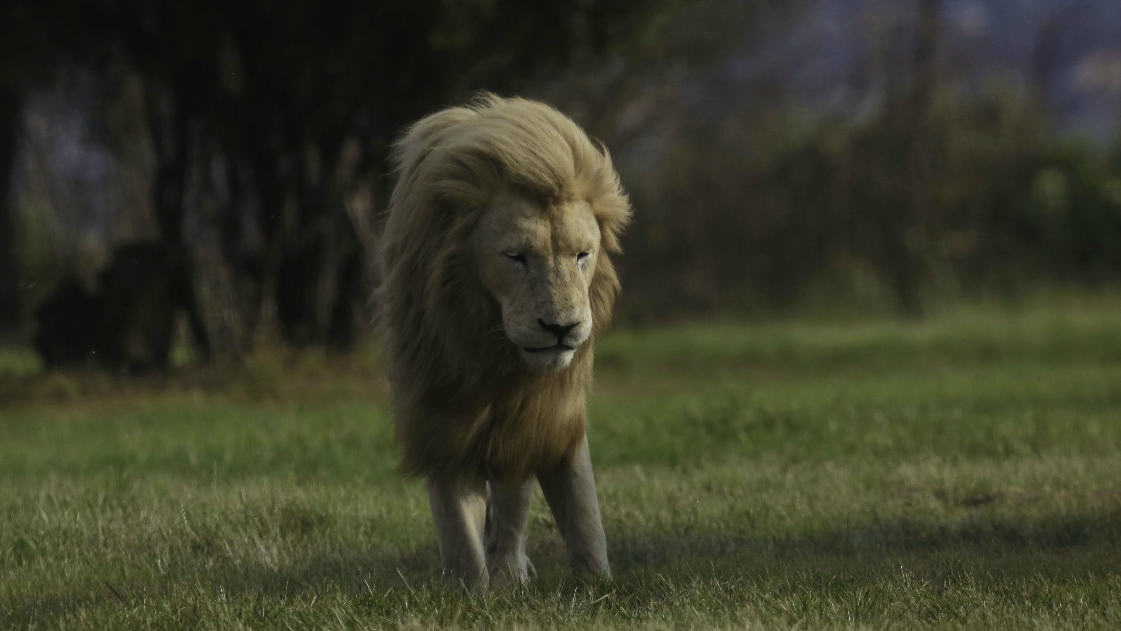 c-lion-AP_39819895158-Jerome Delay