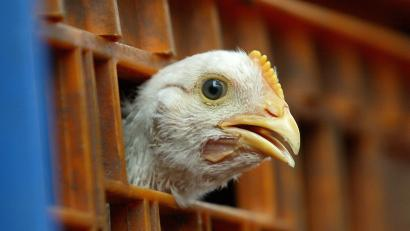A chicken sticks its head out of a cage at a slaughterhouse in Jakarta, Indonesia,
