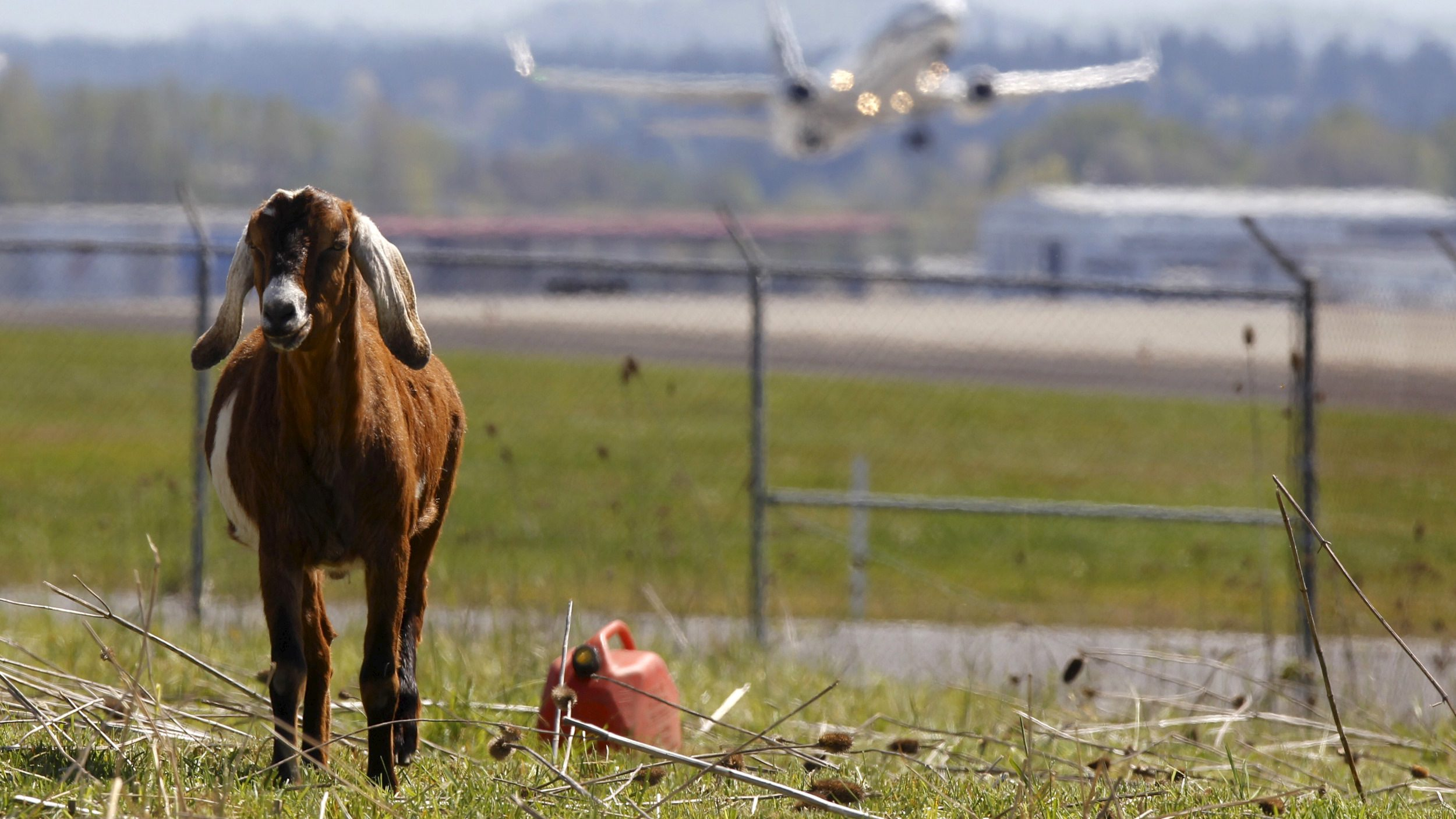 A plane takes off as a goat grazes at the Portland International Airport in Portland, Oregon April 17, 2015. In a city that loves its goats, the Portland International Airport now has a temporary herd. Forty goats and a llama started munching this week on invasive plants such as blackberries, thistle and Scotch broom near the PDX airfield. The llama's job is to keep away predators like coyotes. Picture taken April 17, 2015.  REUTERS/Steve Dipaola - RTX19KH6