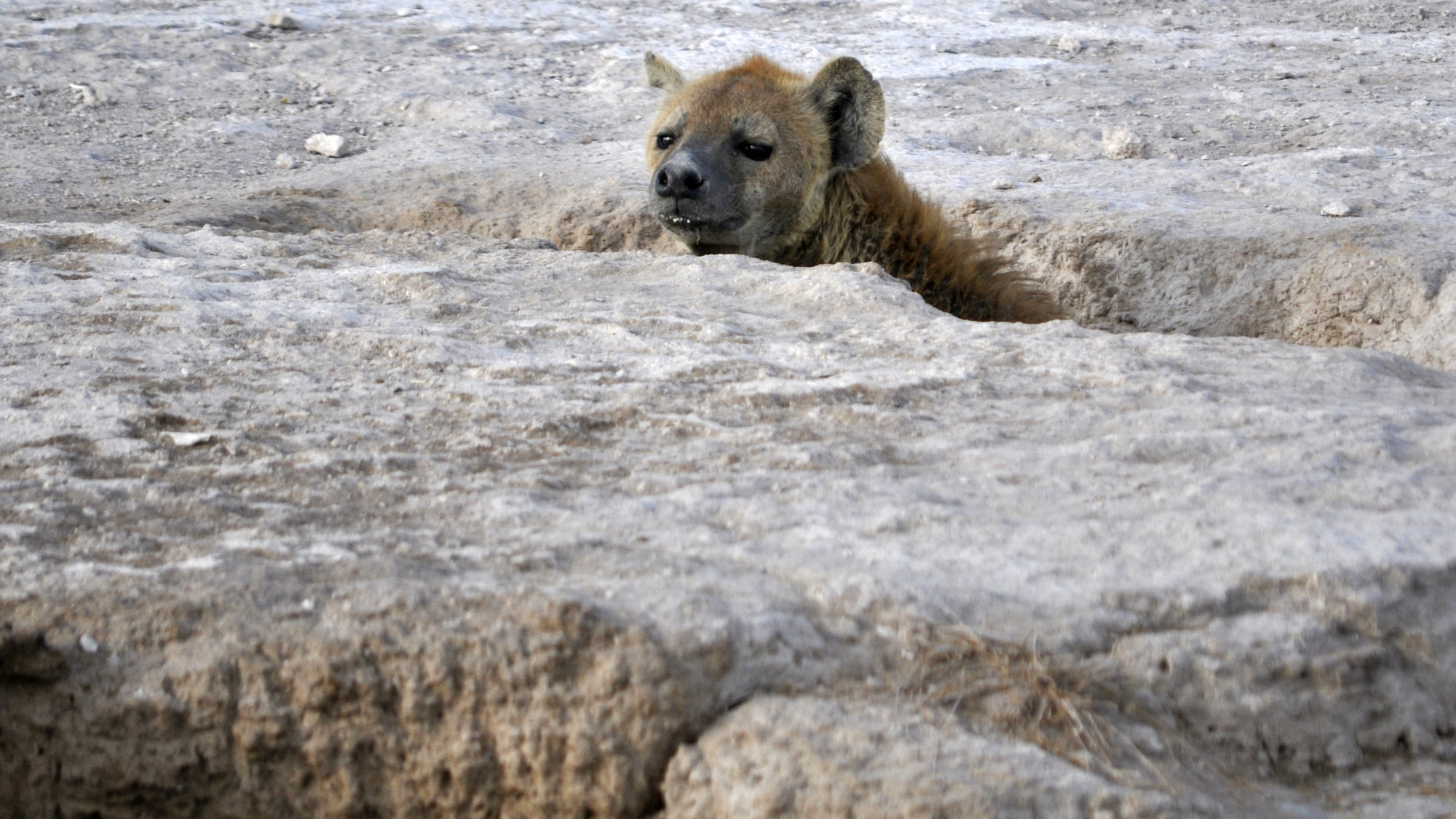 A hyena peers for its prey at the foot of Mount Kilimanjaro in Amboseli national park 290 km (188 miles) southeast of Kenya's capital Nairobi, February 10, 2010.