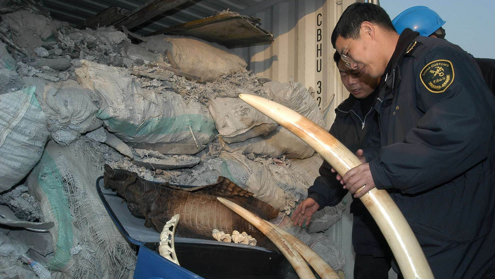 Chinese Customs officers examine ivory tusk and crocodile skins found in a container containing imported aluminum waste in Wenzhou, Zhejiang, Eastern China, Tuesday, Jan 21, 2003. The illegal items were confiscated after it was discovered hidden in the shipment on Monday.  More than 20 kilograms (44 pounds) of the products were found. (AP Photo) ** ONLINE OUT, CHINA OUT **