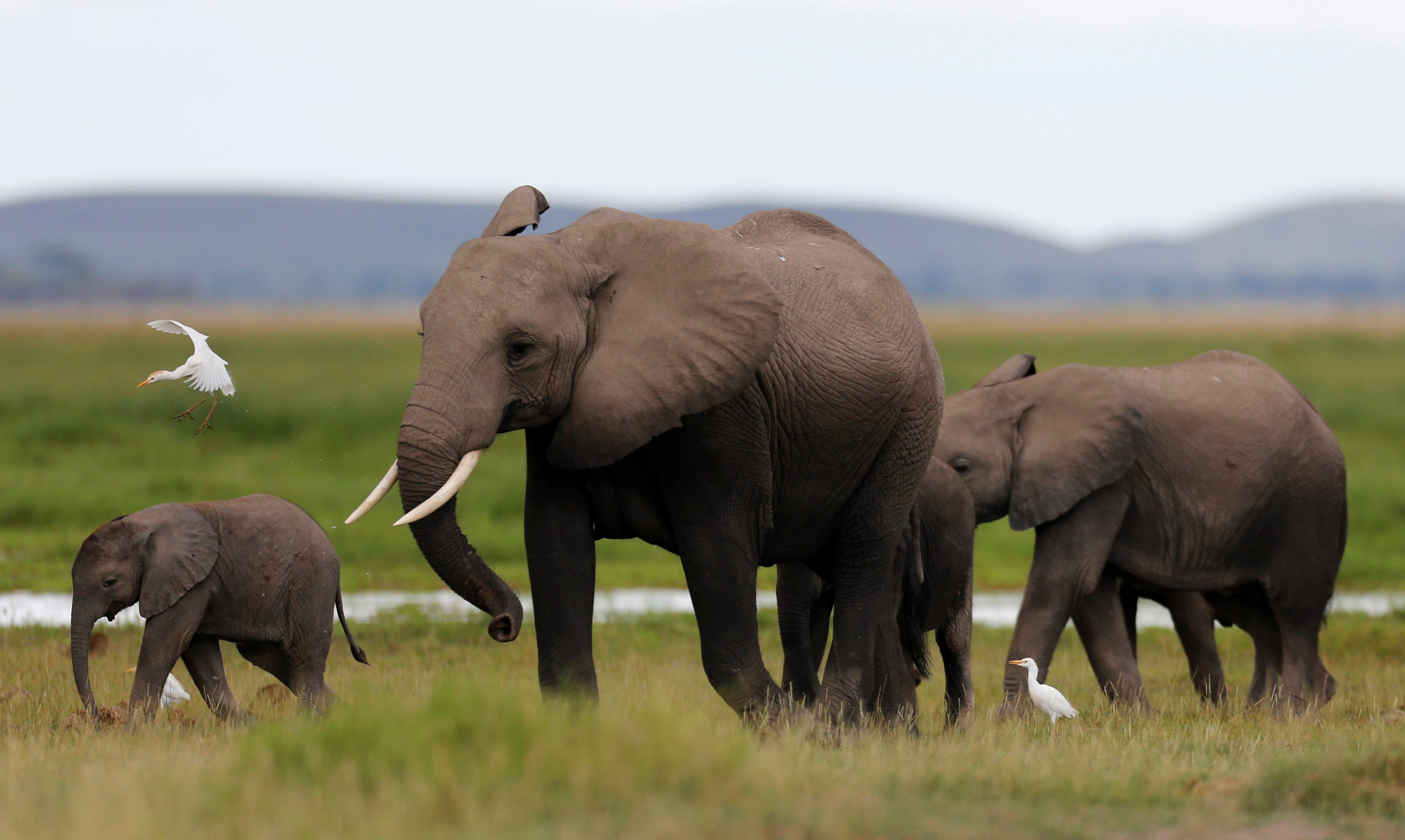 A bird flies over a family of elephants walking in the Amboseli National Park, southeast of Kenya's capital Nairobi, April 25, 2016. - RTX2BLAN
