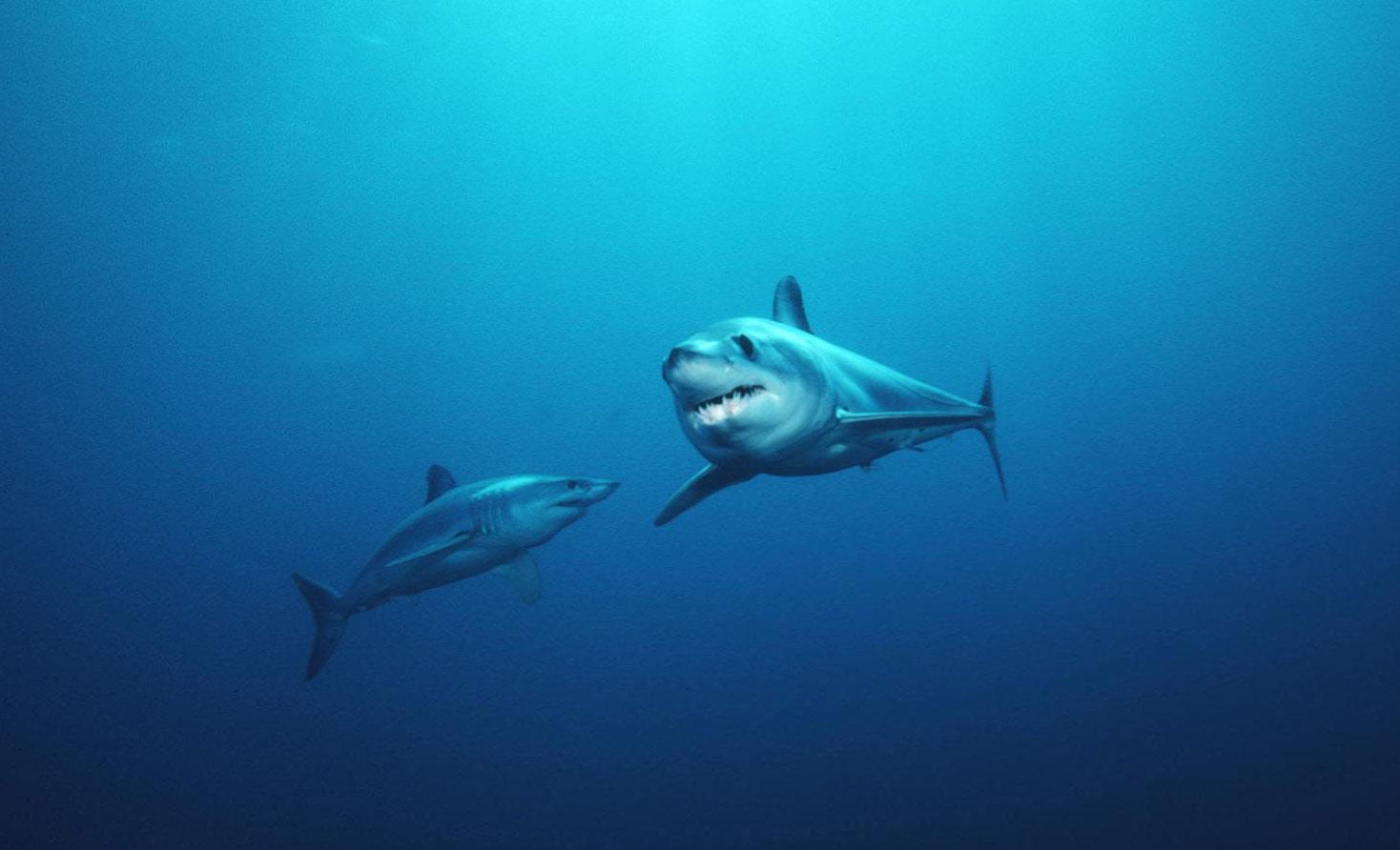 Shortfin mako sharks.