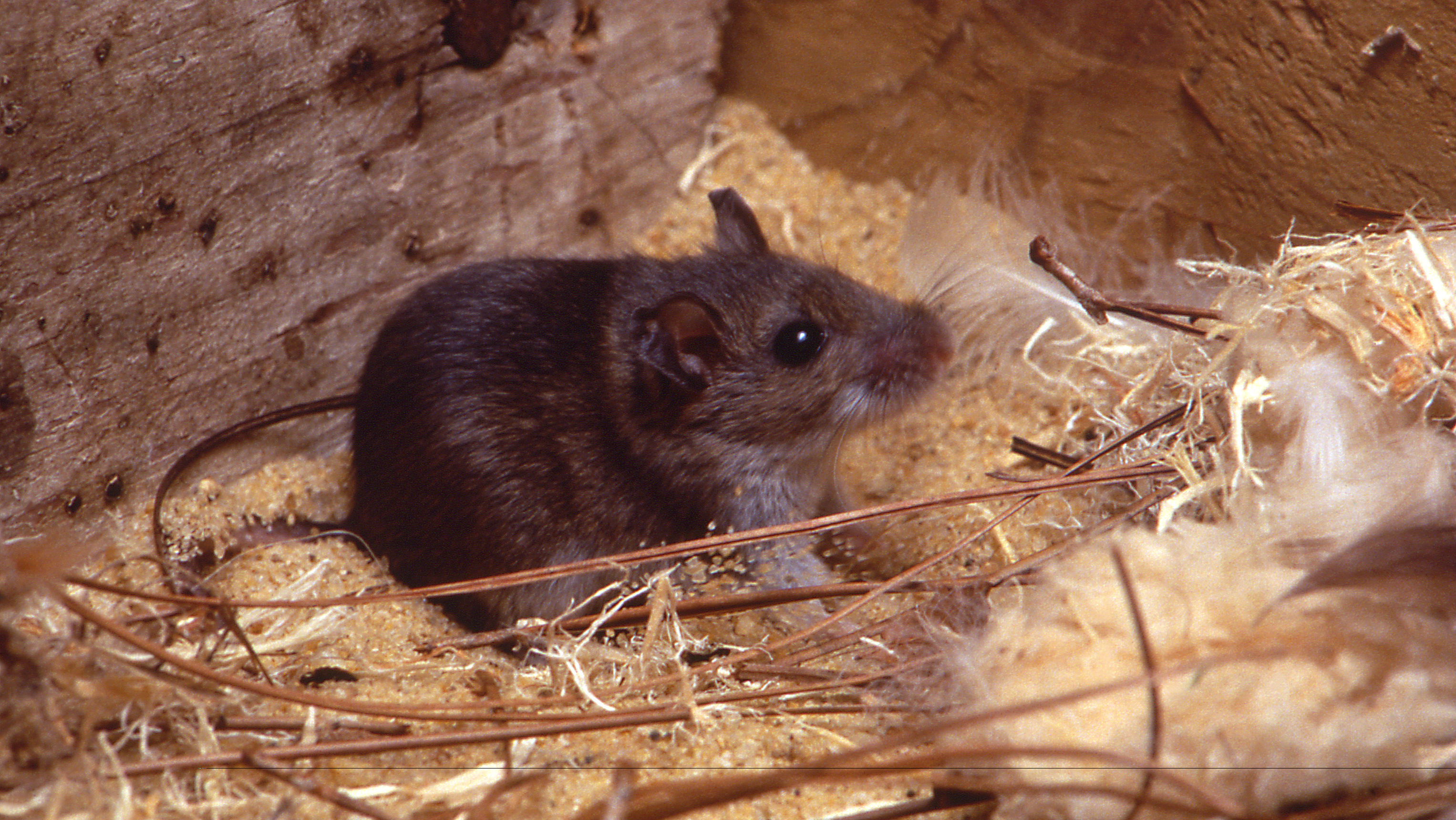 A mouse in a den.