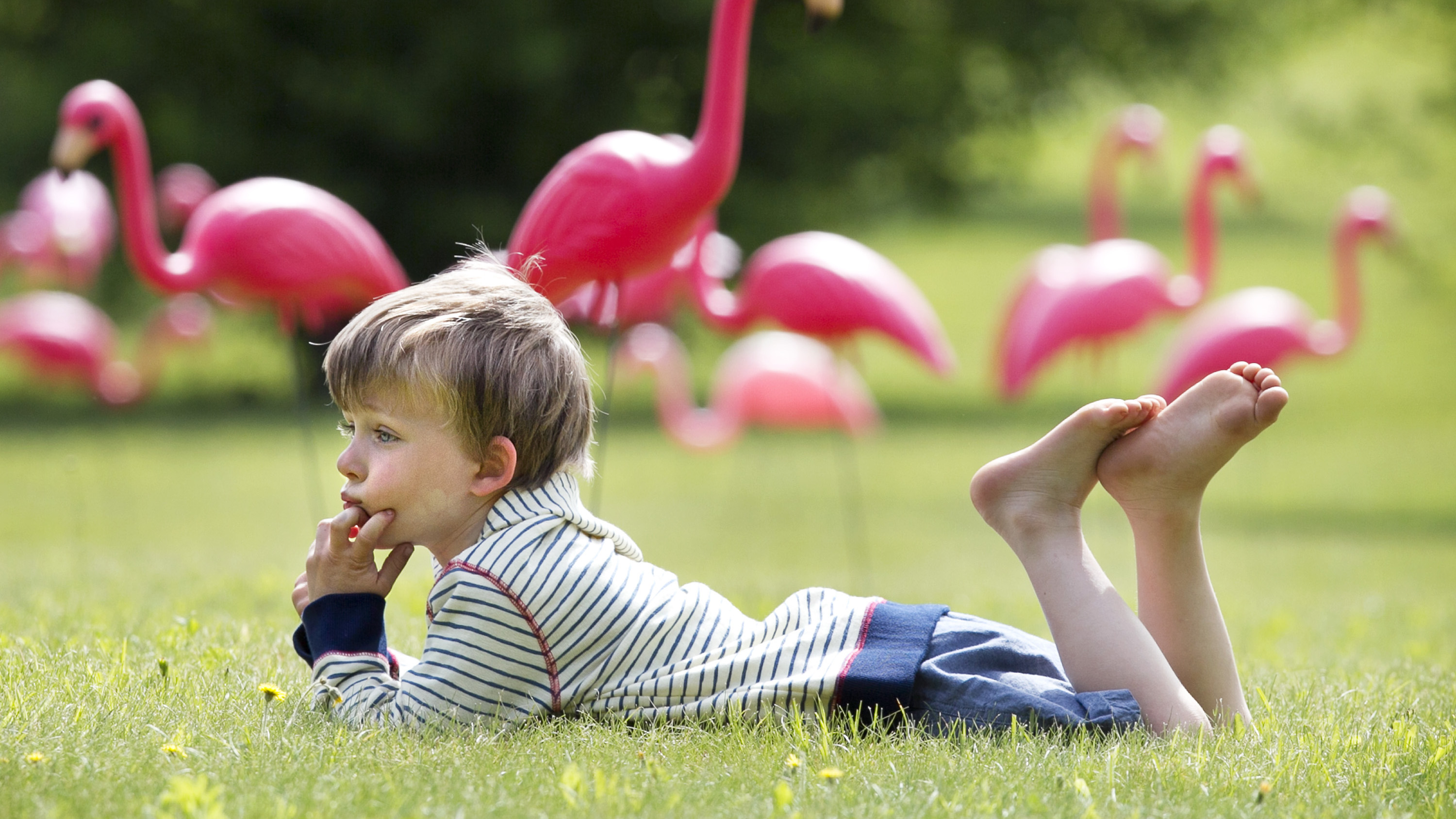 "Four-year-old Owen Kassatly daydreams amidst a flock of plastic pink flamingoes on his grandfather's front yard, Thursday, June 6, 2013, in Waldoboro, Maine. Dana Dow's yard was surreptitiously ""flocked"" by the town's fire dept., which is raising money to celebrate the dept.'s 175th anniversary."