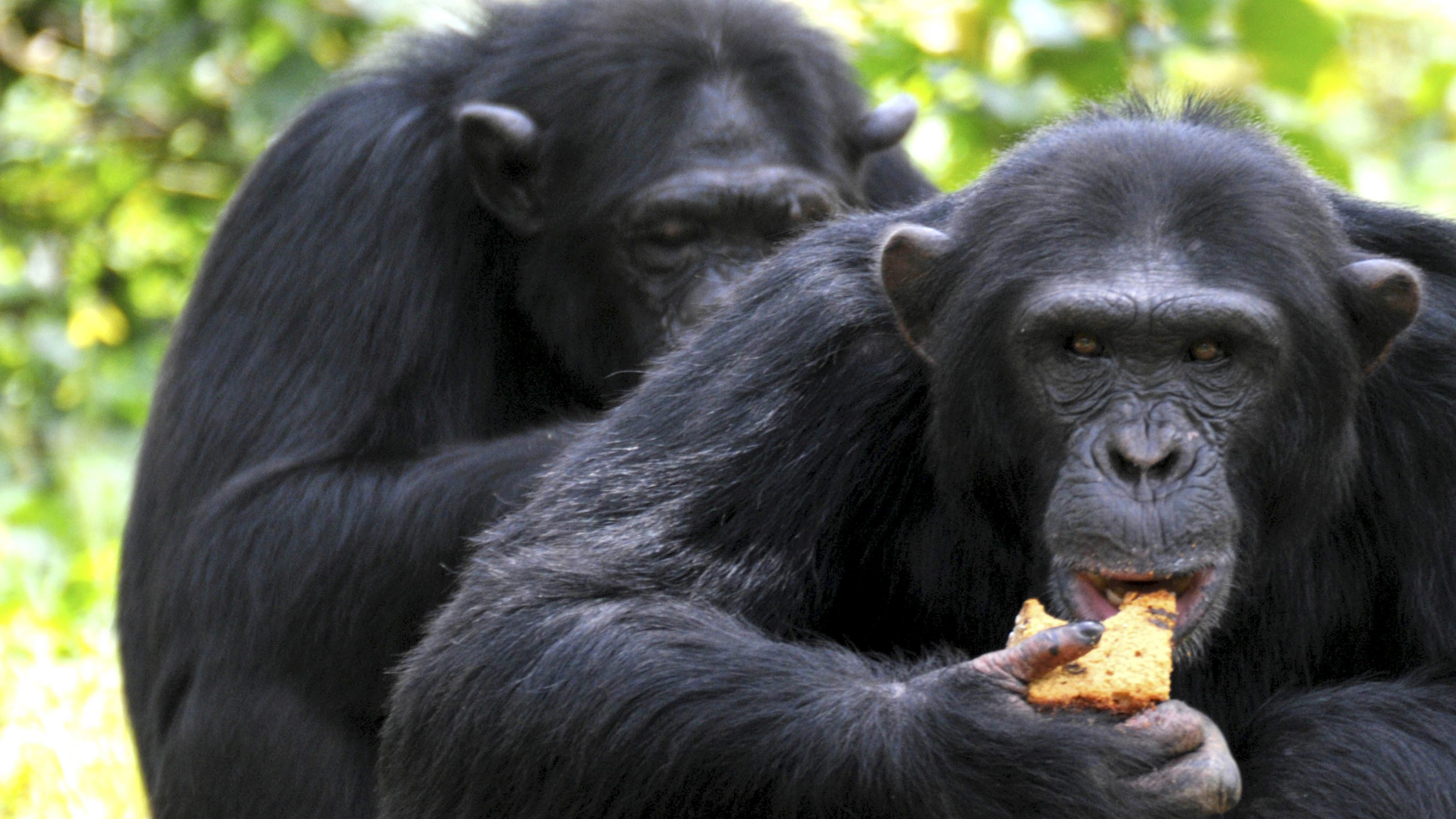 Oldest alpha male chimpanzee in Uganda eats piece of cake on his 44th birthday at UWEC in Entebbe
