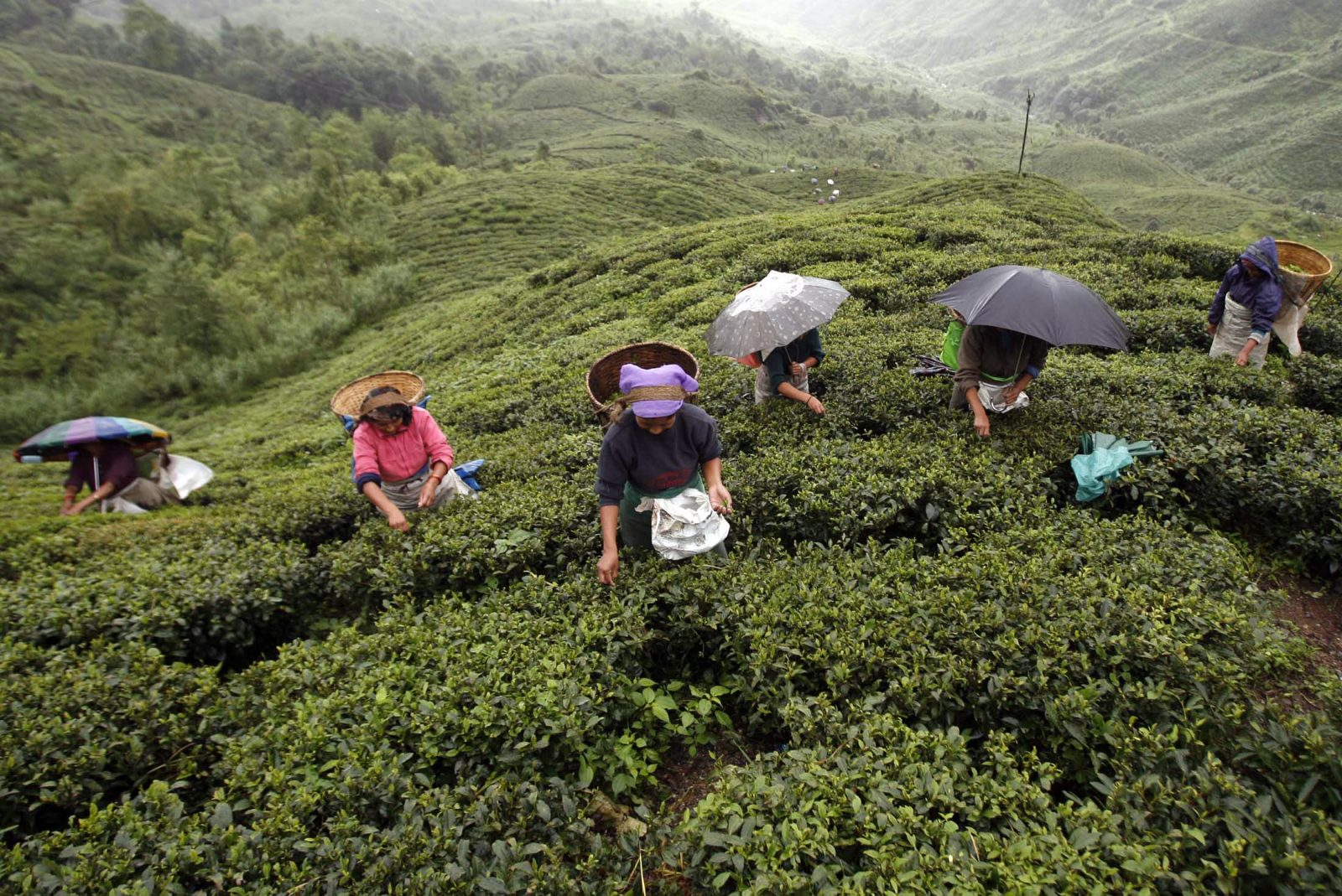 """Labourers pluck tea leaves in a tea plantation at Shipaidura village, about 40 km (25 miles) north of the northeastern hill resort of Darjeeling, June 23, 2008. Gorkhas, who are ethnic Nepalis, called an indefinite strike in the region on June 10 and are demanding a separate state of """"Gorkhaland"""" be carved out of the eastern state of West Bengal to protect their culture and heritage. The strike has badly hit the tourism and the tea industry, two mainstays of the local economy. A tea industry official has warned exports of premium Darjeeling tea could fall 20-25 percent this year.    REUTERS/Rupak De Chowdhuri (INDIA) - RTX7999"""