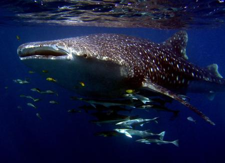 Whale shark.