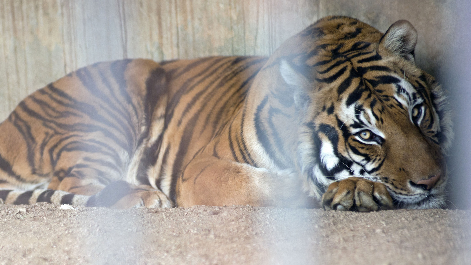 In this Aug. 24, 2013 photo, Hatch, a former circus male tiger, rests in his cage at the city zoo in Montevideo, Uruguay. Hatch has lived in a cage since he was traded to the Villa Dolores Zoo which is now looking to send him to a sanctuary in the U.S.  There is a surplus of big cats in captivity, according to the World Wildlife Foundation. (AP Photo/Matilde Campodonico)