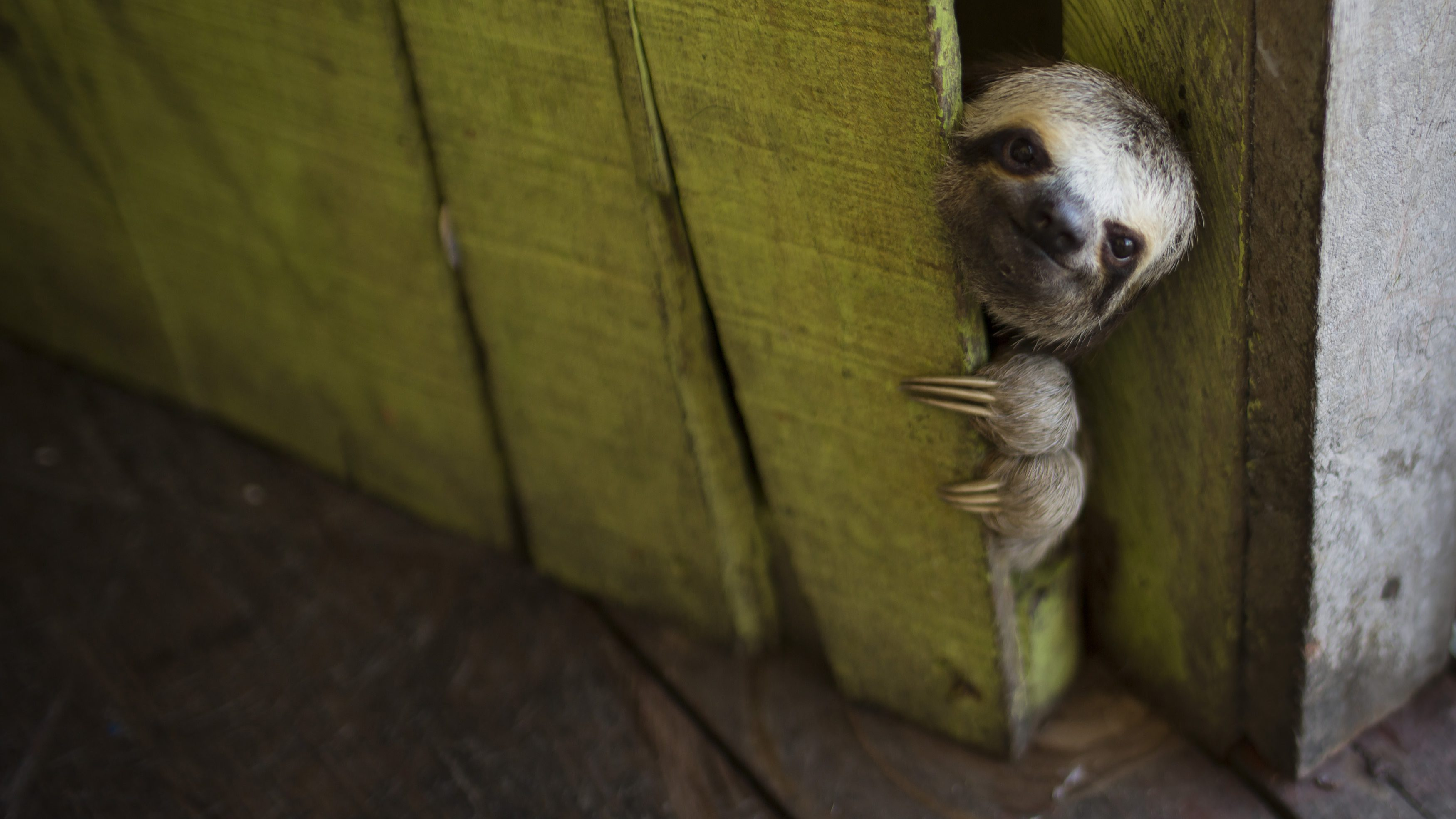 FILE - In this May 20, 2014 FILE photo, a female baby sloth peeks out from behind a door on a floating house in the 'Lago do Janauari' near Manaus, Brazil. The sloth was captured by the owner of the floating house, who makes a living showing local fauna to visitors. In an an attempt to prevent any harm to the animals he says he only keeps each animal for a few weeks before returning it to it's natural habitat. (AP Photo/Felipe Dana, File)