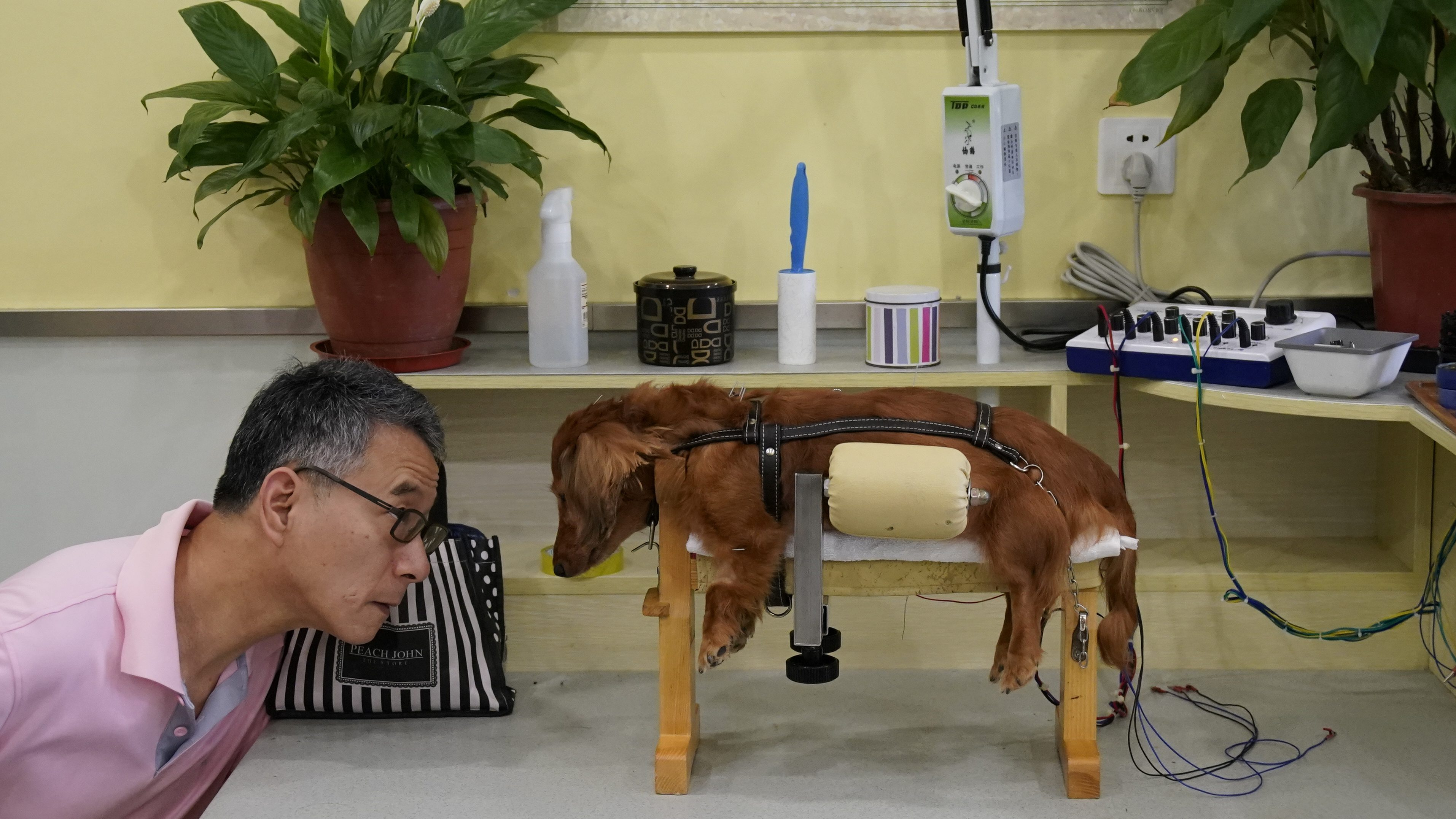 """A dog receives treatment at Shanghai TCM (Traditional Chinese Medicine) Neurology and Acupuncture Animal Health Center, which specialises in acupuncture and moxibustion treatment for animals, in Shanghai, China, August 16, 2017. REUTERS/Aly Song       SEARCH """"ACUPUNCTURE"""" FOR THIS STORY. SEARCH """"WIDER IMAGE"""" FOR ALL STORIES. - RTS1COM3"""