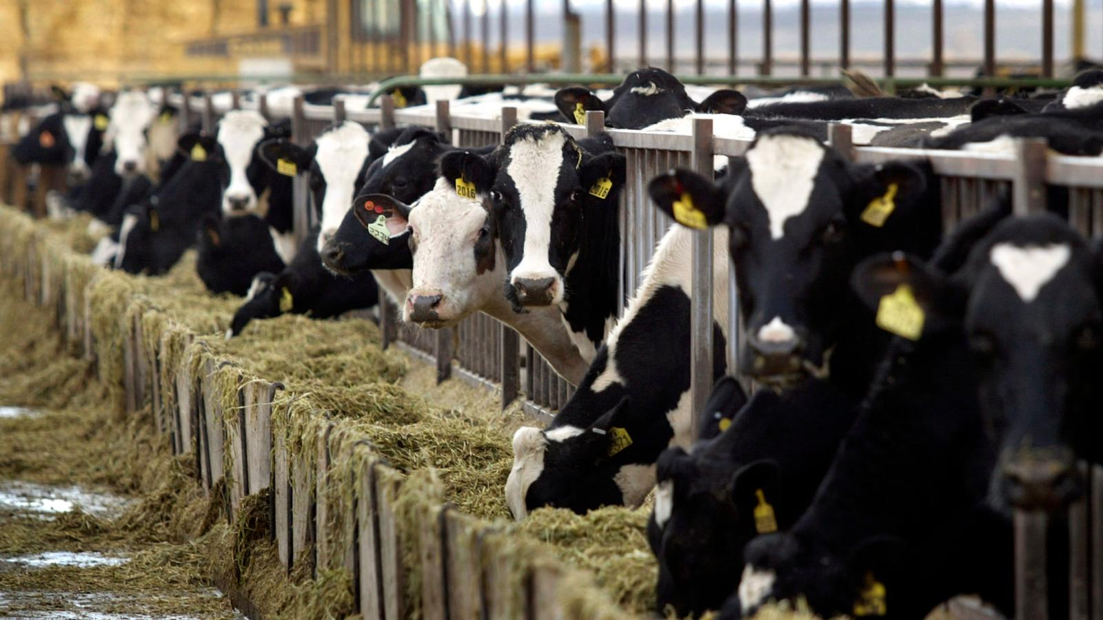 best yeast for dairy cows
