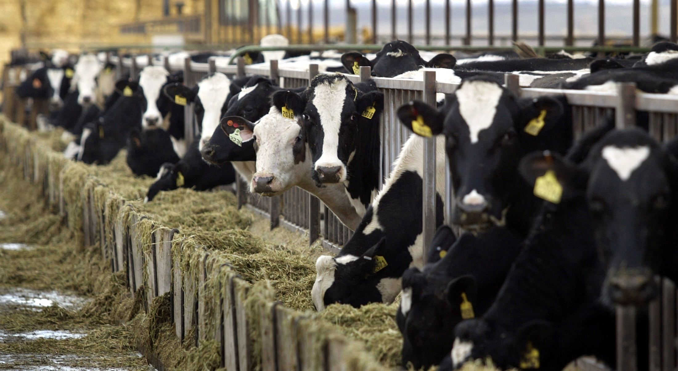 Healthy Holstein dairy cows feed at a farm in central Washington (Reuters photo/Jeff Green)
