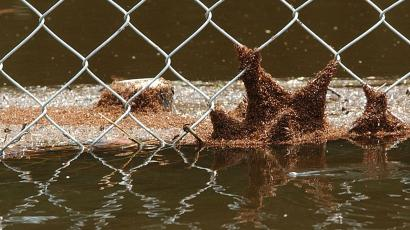 fire ants clinging to a fence.