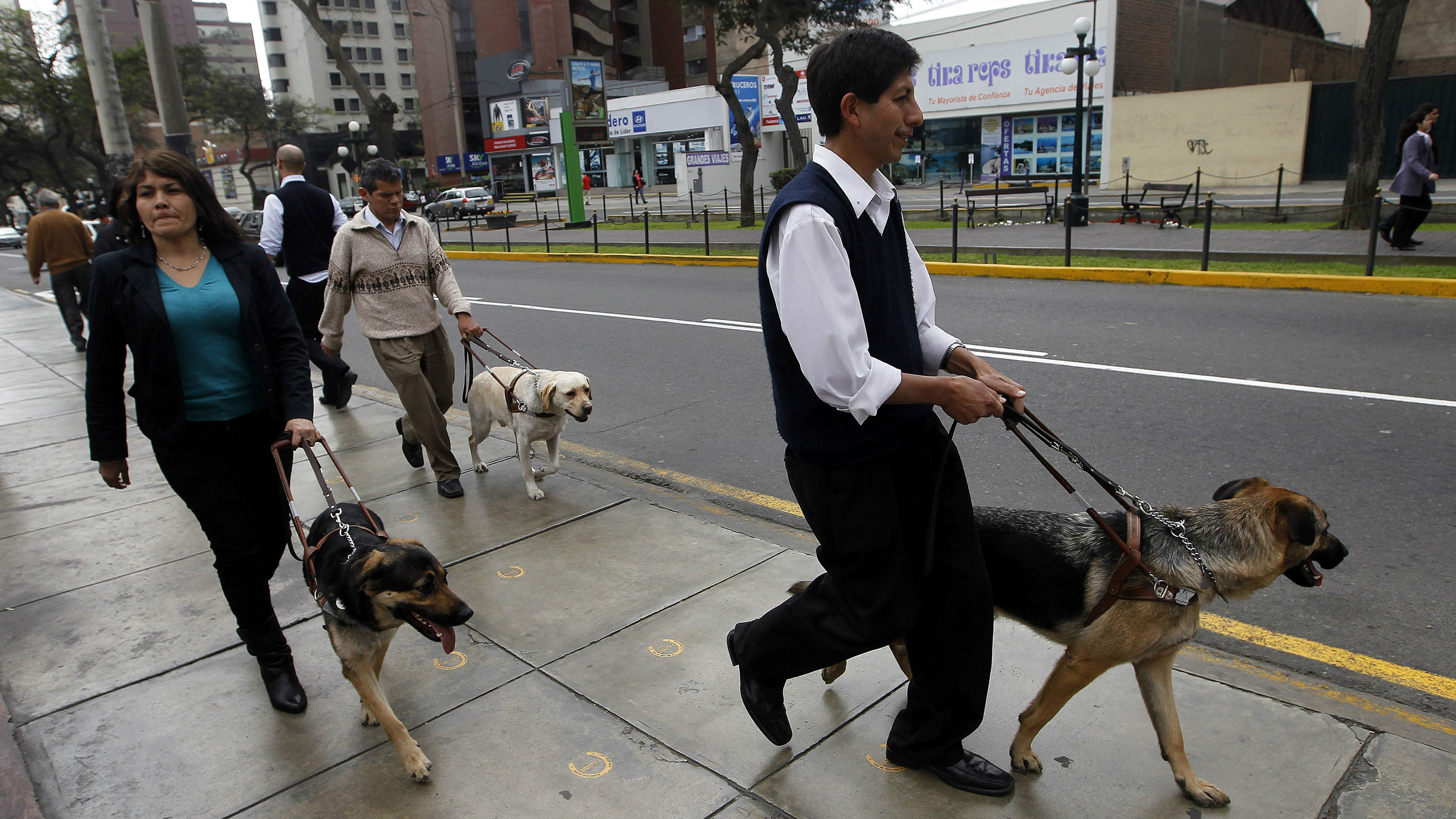 Marcos Segura (front), Jane Cosar and Juan Perez (back) and their guide dogs Ozzy, Cubbe and Isac (respectively) walk at a street in Lima October 6, 2011. Cosar is a blind lawyer and former congressional candidate who fights for the rights of blind people using guide dogs in Peru, where shops, banks, buses and others do not allow the blind to enter with their guide dogs. In Peru, there are three blind users of guide dogs, that were donated by Leader Dogs for the Blind program, and they hope that through lawsuits, they will be able to gain more rights and freedom to use public transport.