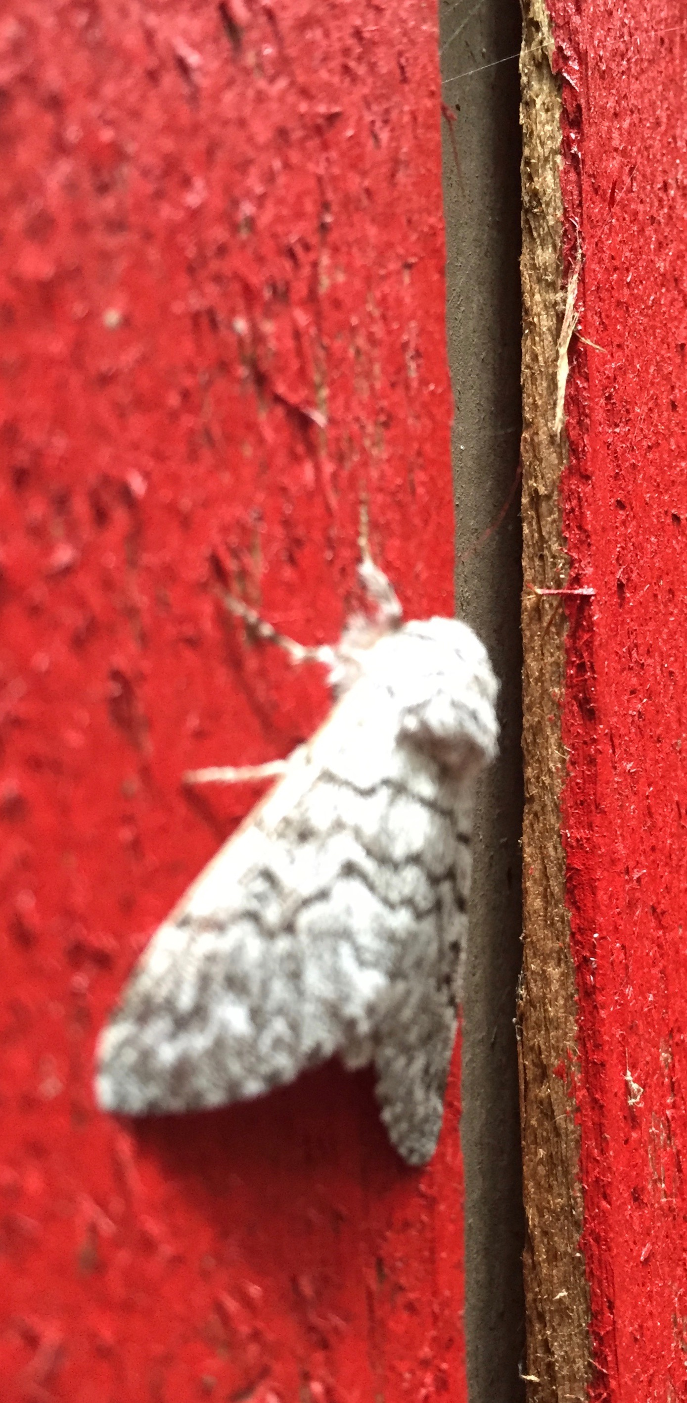 Moth on cabin, CA.