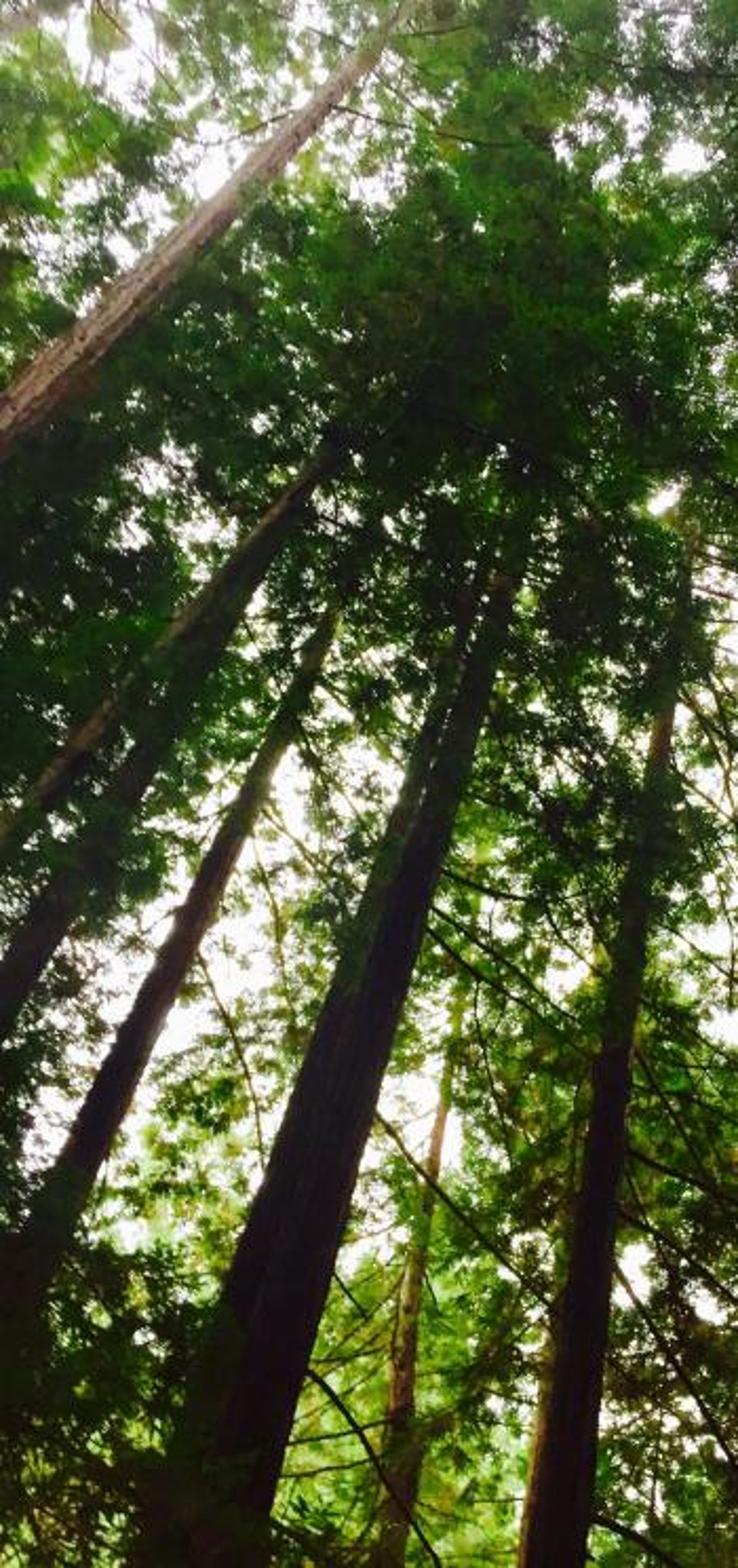Lompico redwoods.