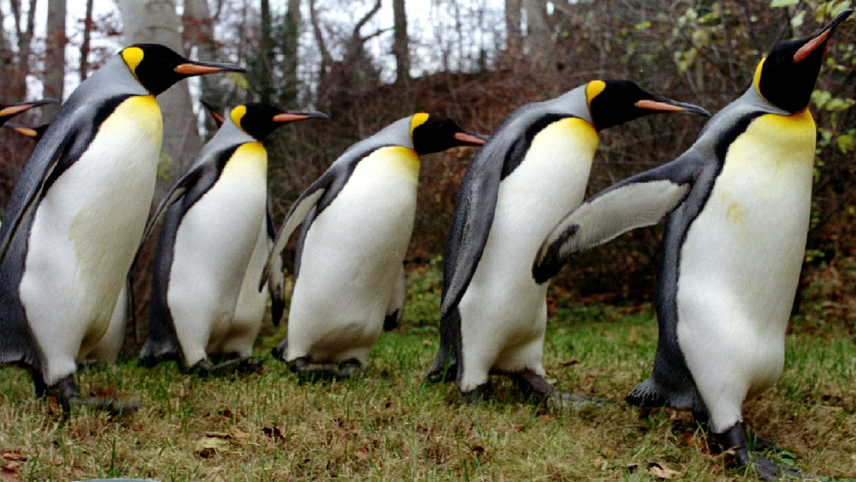 """King Penguins take no notice of a sign reading """"Please do not leave the paths"""" during a walk through Munich's zoo Hellabrunn on November 26. Penguins of the Munich zoo are allowed to have their daily walk during winter season"""