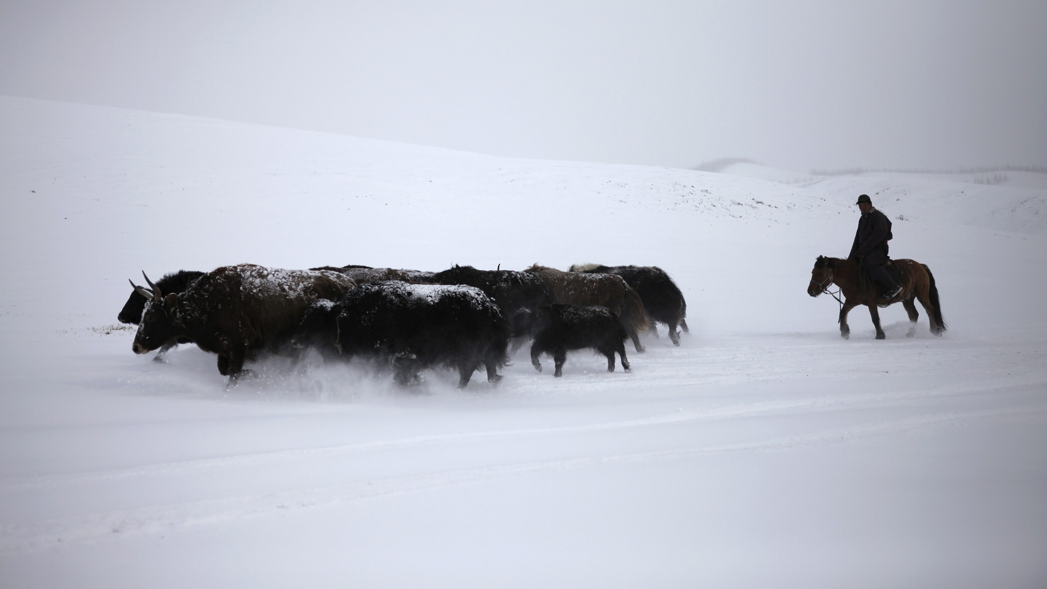 A man herds his yaks in the snow in Tsenkher Sum, Arhangai, October 21, 2013.