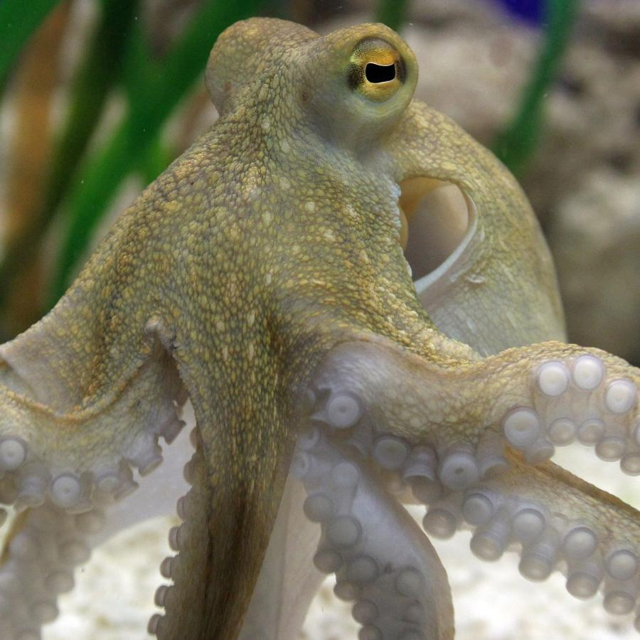 An octopus is the closest thing to an alien here on earth — Quartz