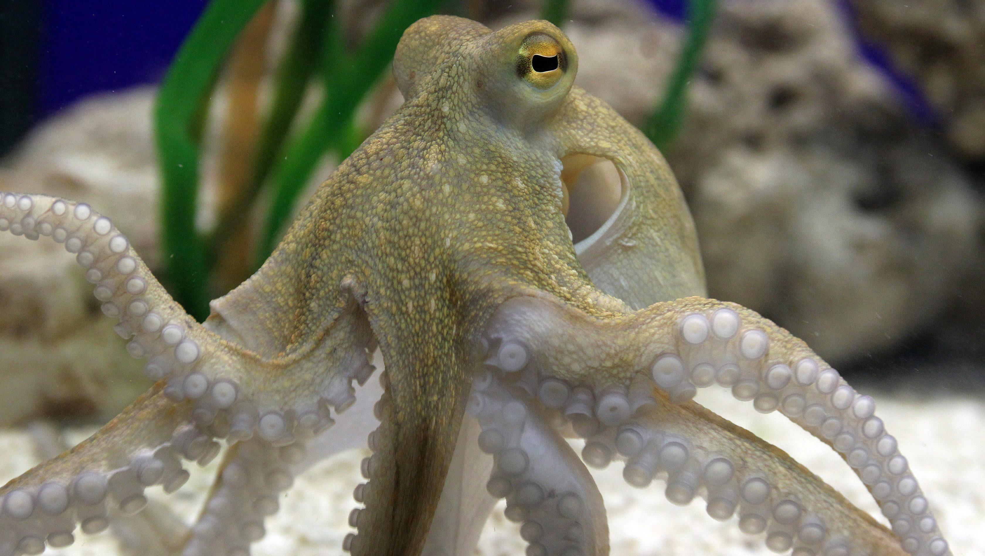 Echte Kraken