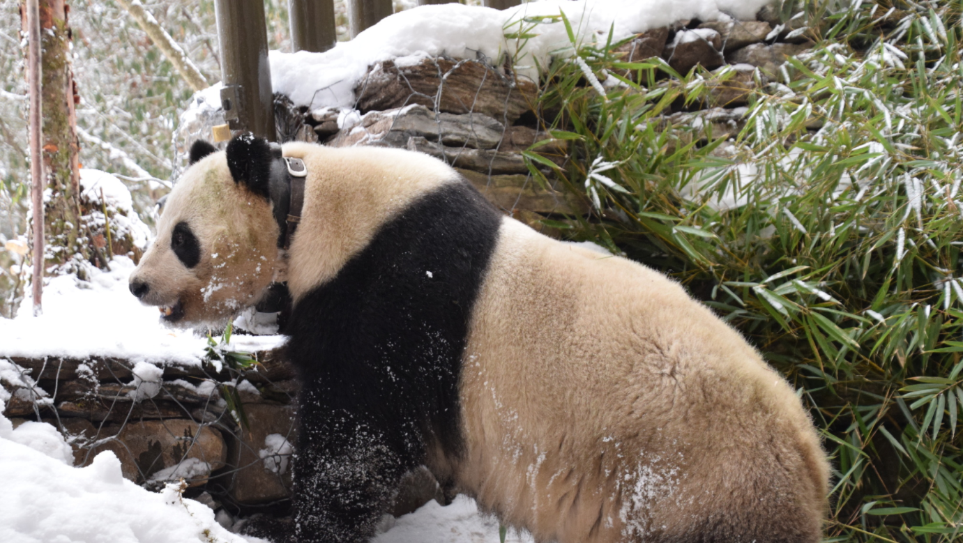 Caocao was set free on March 1 to the wild on the mission to mate with the wild pandas. She gave birth to a cub on July 31.
