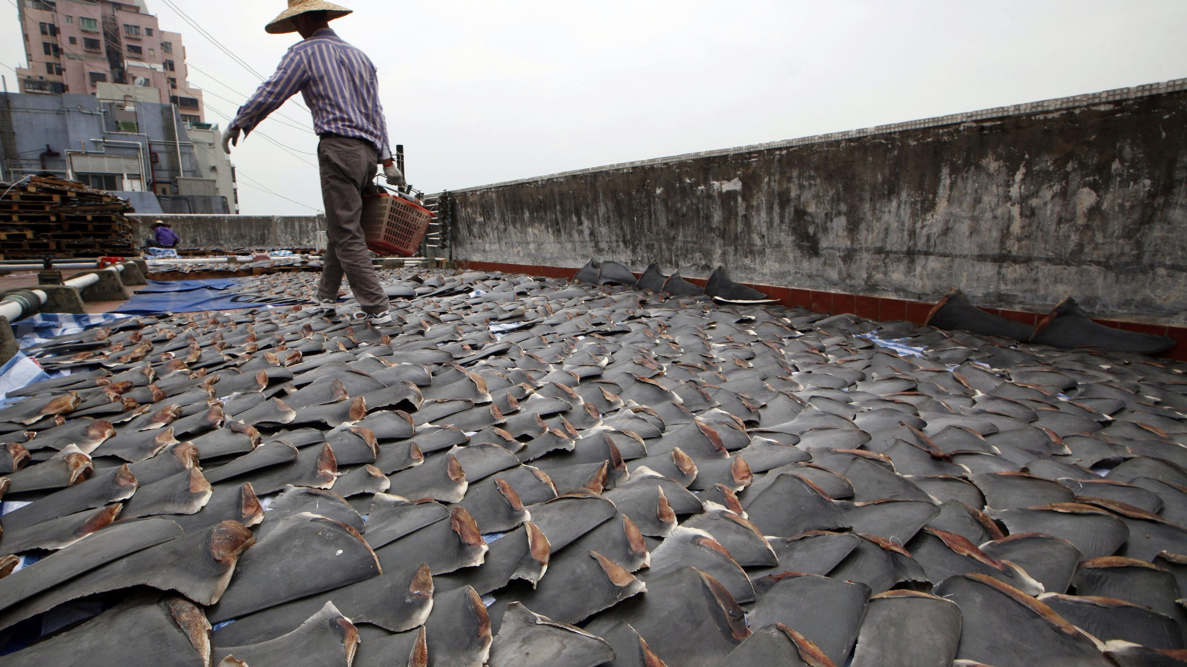 FILE - In this Jan. 3, 2013 file photo, a worker collects pieces of shark fins dried on the rooftop of a factory building in Hong Kong. For centuries, shark fin, usually served as soup, has been a coveted delicacy in Chinese cooking. In the United States, members of the fishing industry say they will dig in against 2016 legislation in Congress that proponents believe will help shut down the country's shark fin industry for good. (AP Photo/Kin Cheung, File)