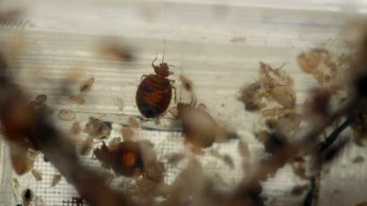 An adult bed bug with some larvae in a container.