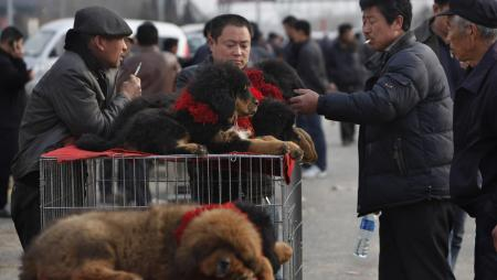 In this photo taken March 21, 2010, a buyer inspects Tibetan mastiff puppies during an annual China Tibetan Mastiff Expo on the outskirts of Beijing, China. In recent years, interest in Tibetan Mastiffs has surged in China with more rich Chinese looking for various ways to to exhibit their wealthy and investment options in addition stocks and real estate. (AP Photo/Gemunu Amarasinghe)
