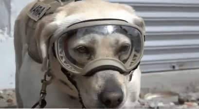 frida the rescue dog helping in mexico earthquake